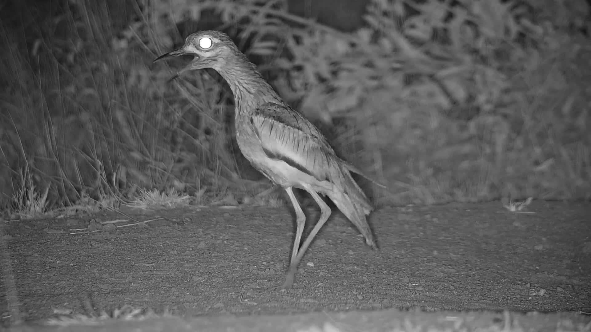VIDEO:  Close-up of a Thick-Knee