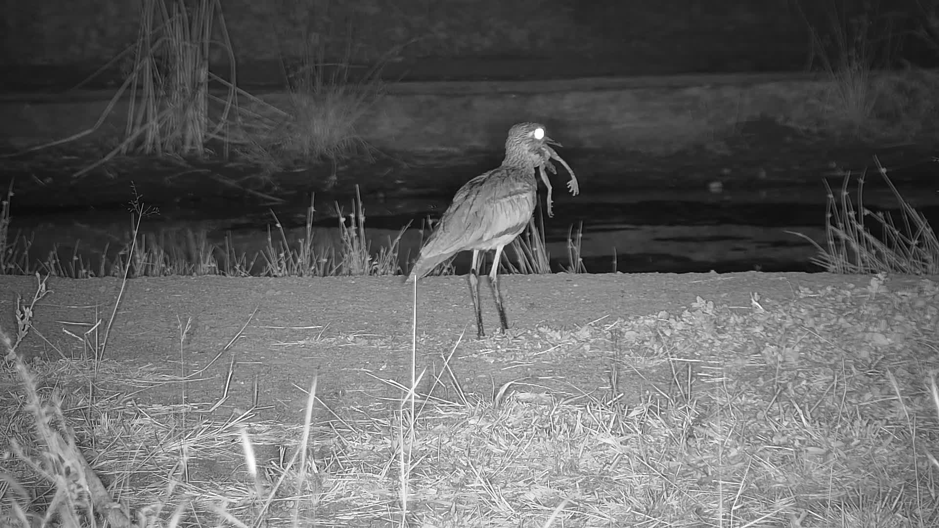 VIDEO: Water Thick-knee having a Frog for a midnight snack