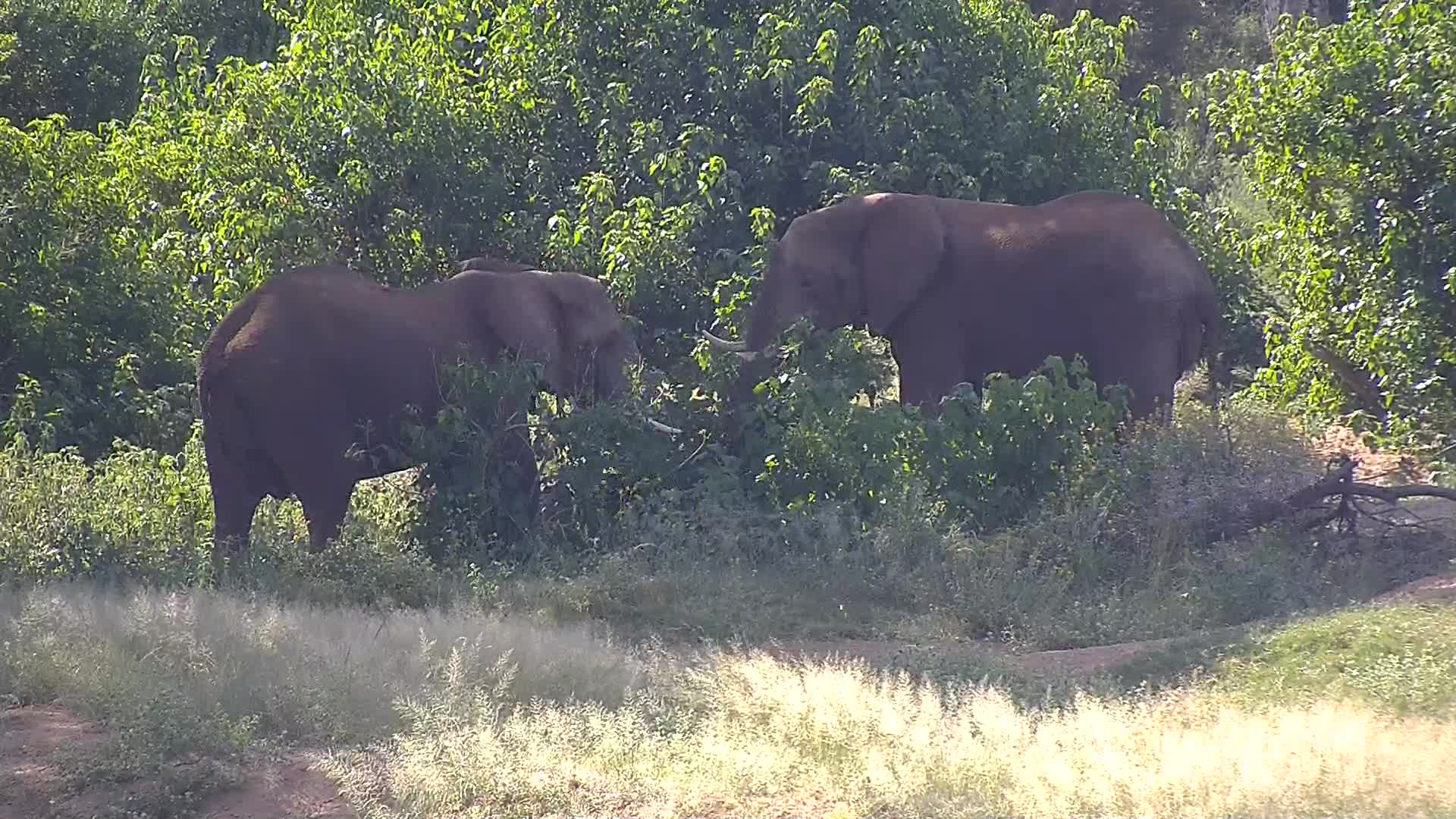 VIDEO:  Elephant bulls sparring, Part 2