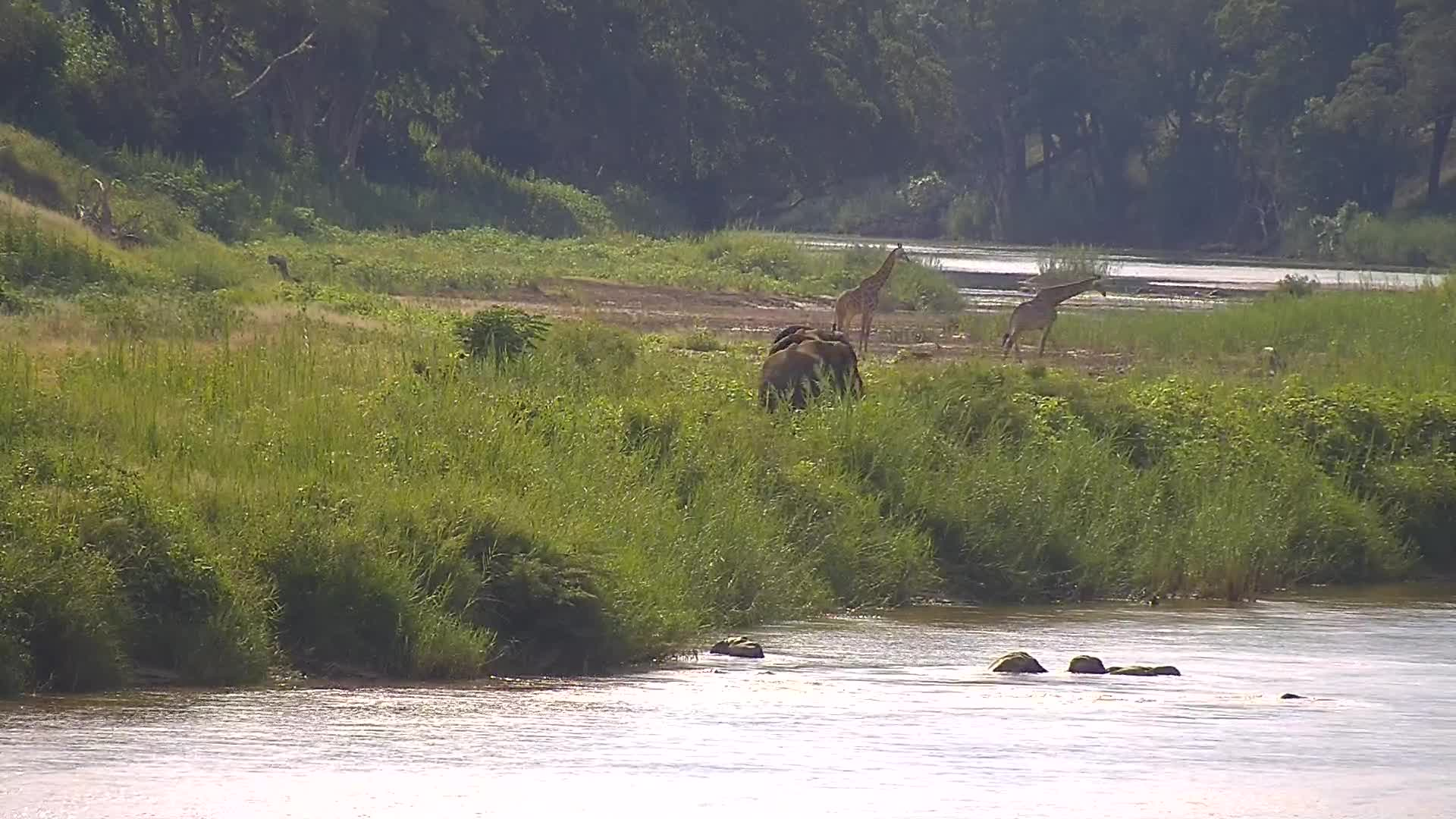 VIDEO: Elephants and Giraffes