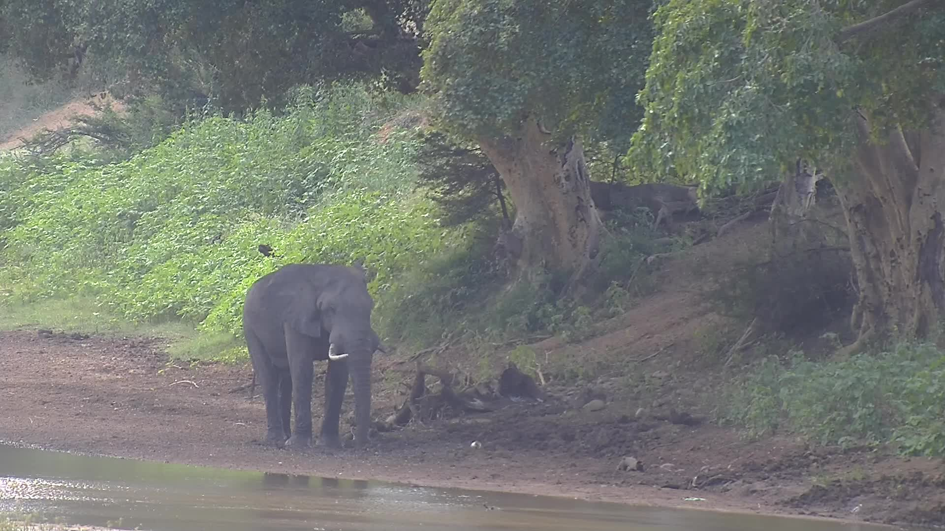 VIDEO: Elephant at the river