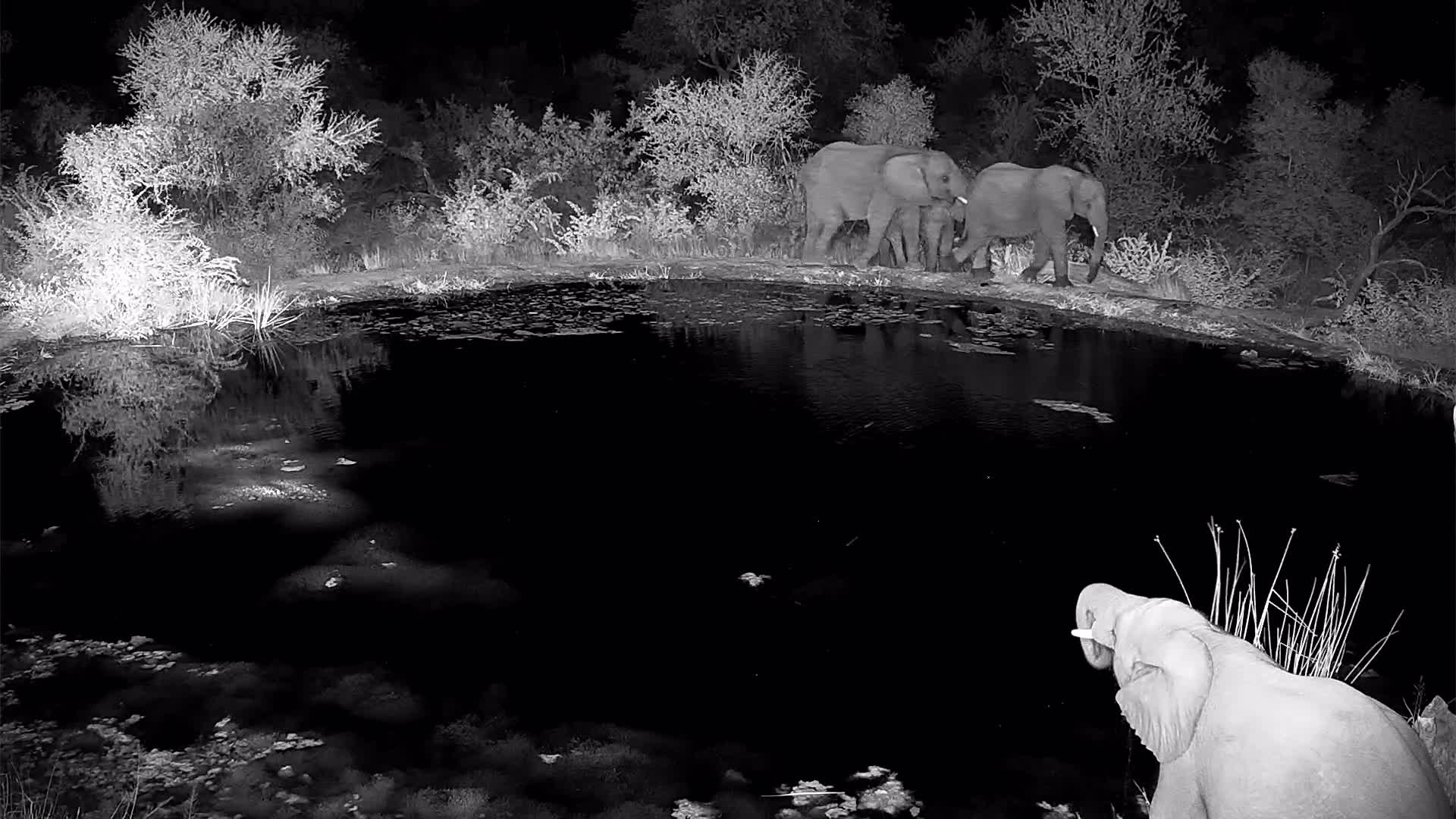 VIDEO: Small breeding herd of Elephants drinking water.