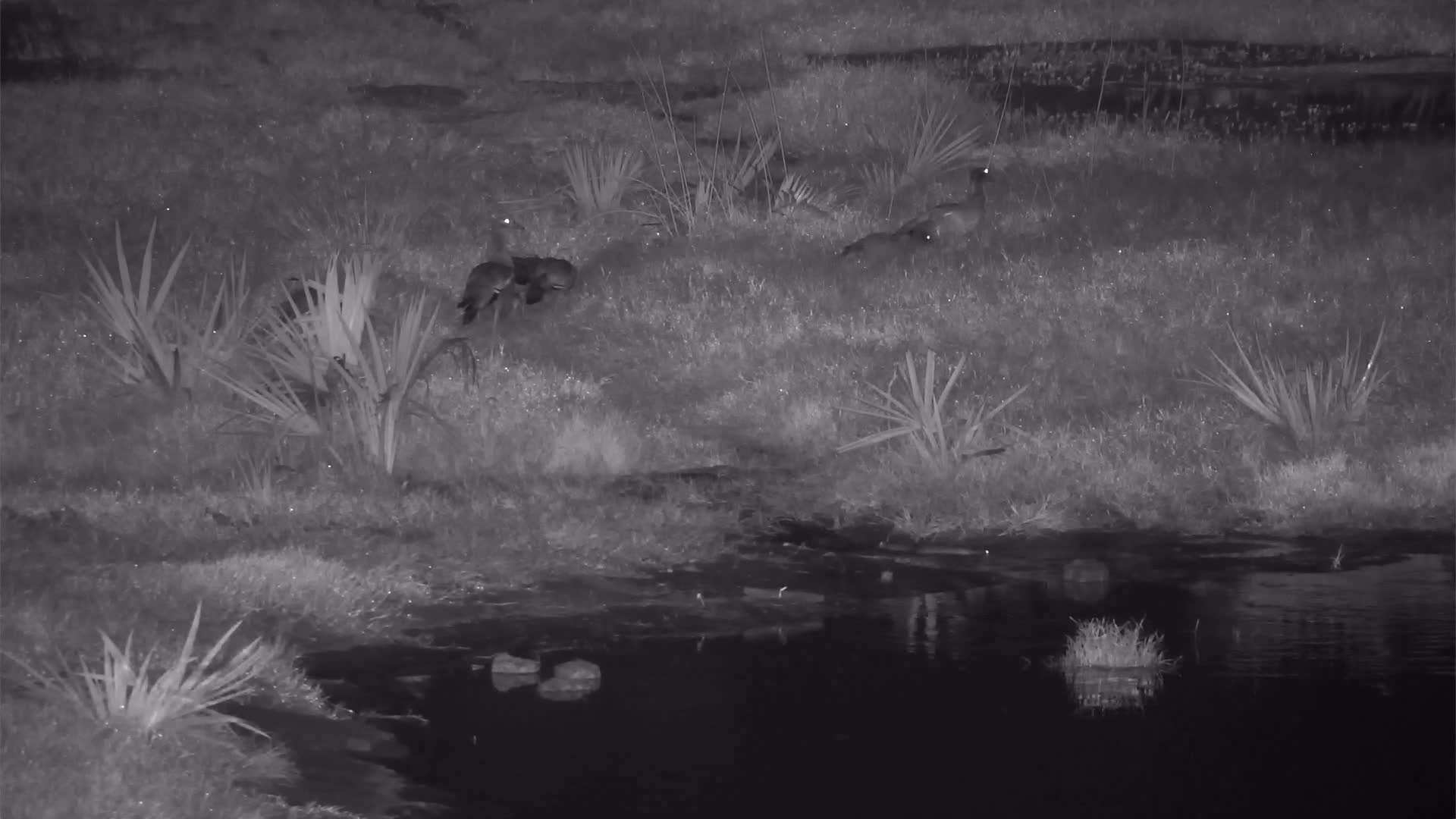 VIDEO: Egyptian Geese by the waterhole while Lungfish come out and go back into the water.