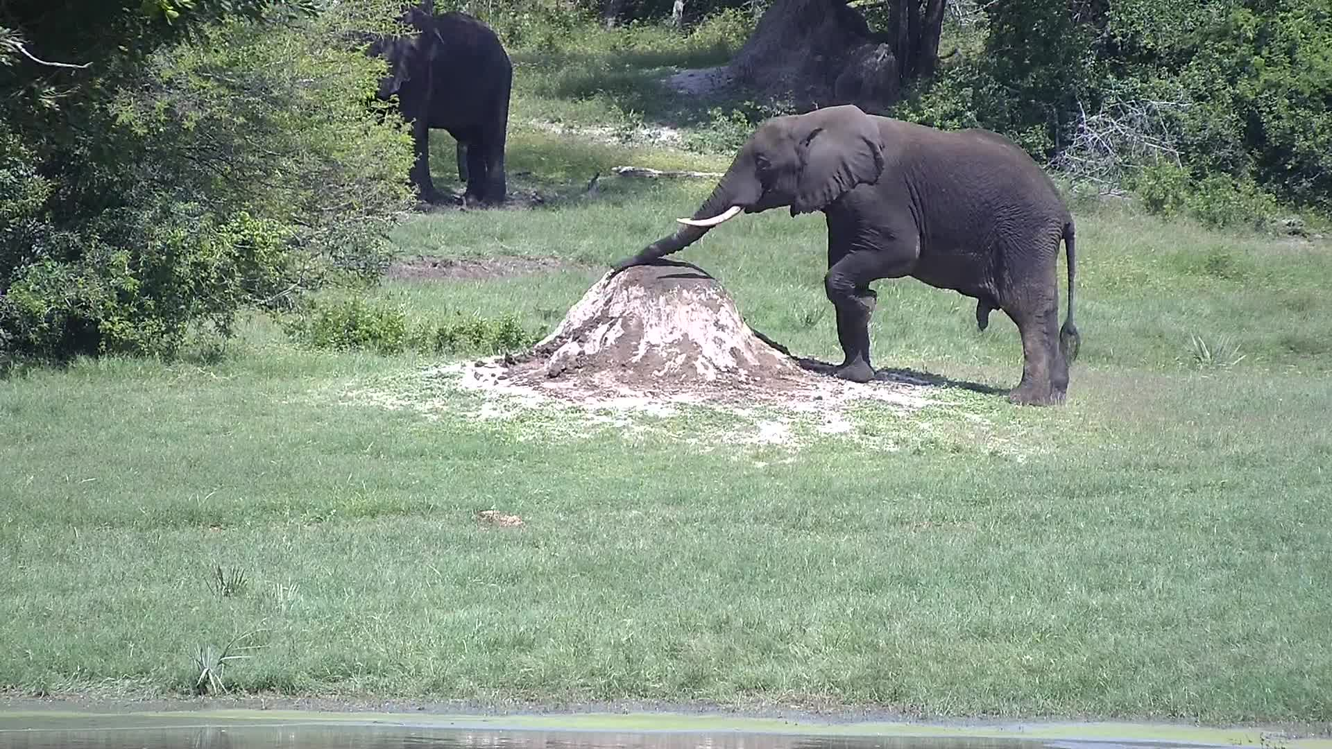 VIDEO: Elephant uses the mound as a lovely scratching post