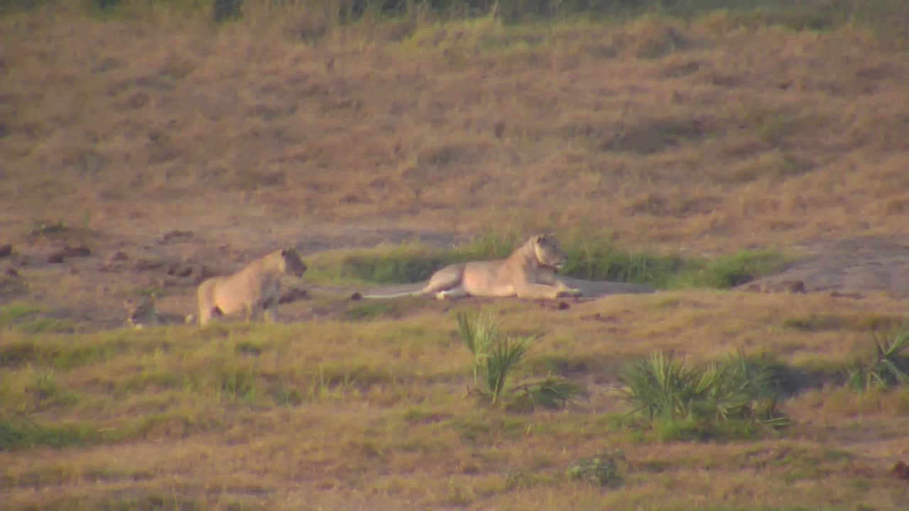 VIDEO: Lions seem to be looking for breakfast this morning