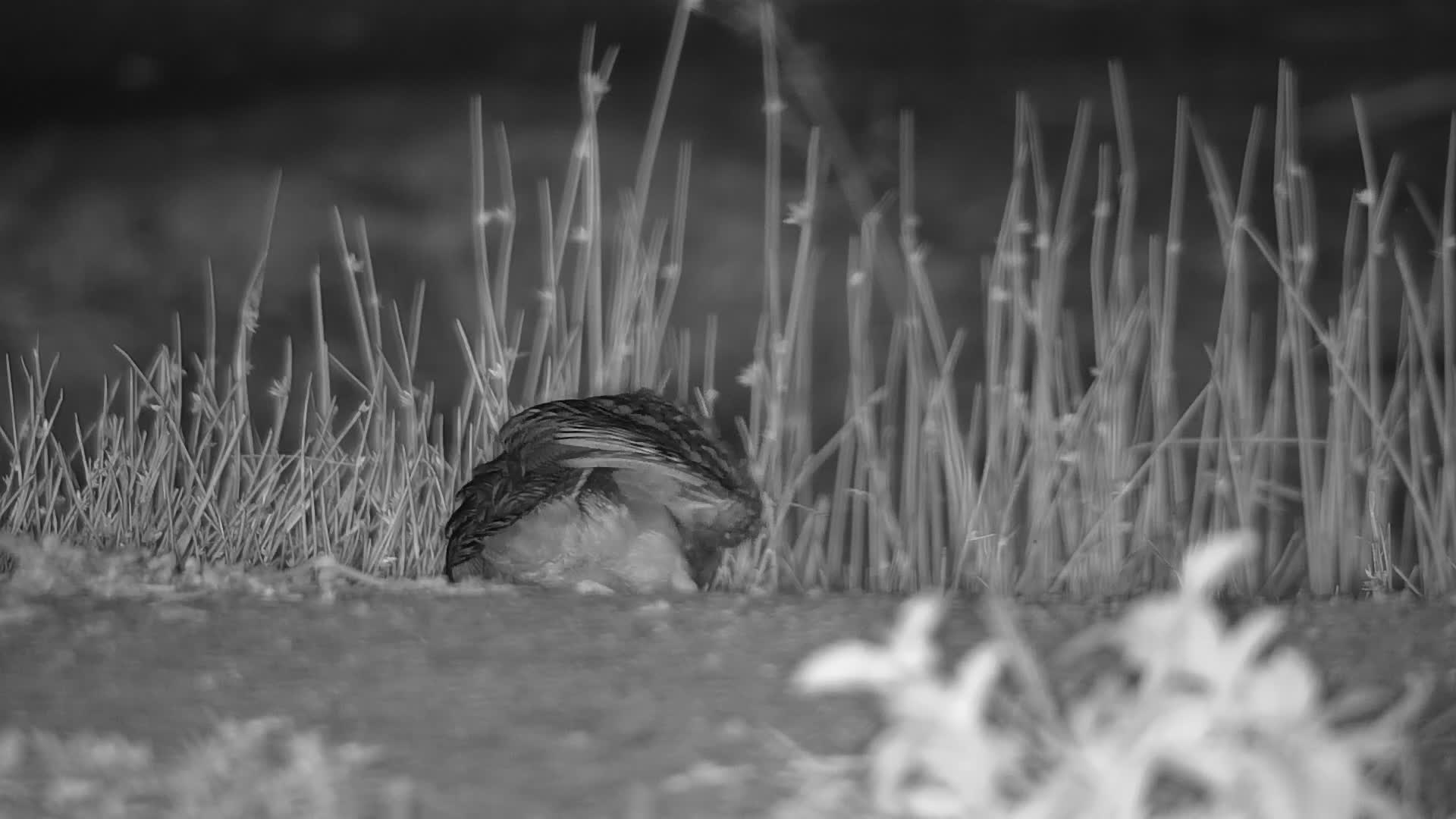 VIDEO:  Greater Painted Snipe stretching its wing