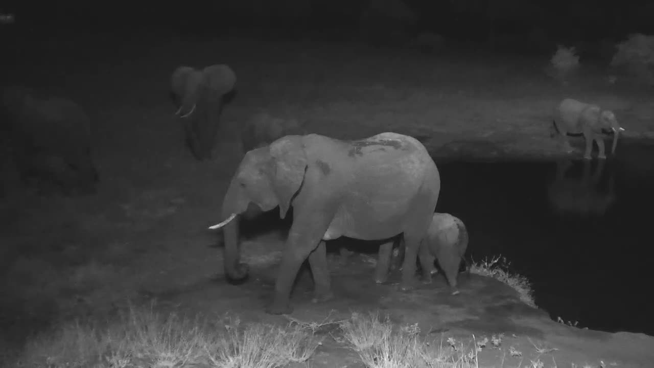 VIDEO: Breeding Herd of Elephants came to the waterhole for a drink
