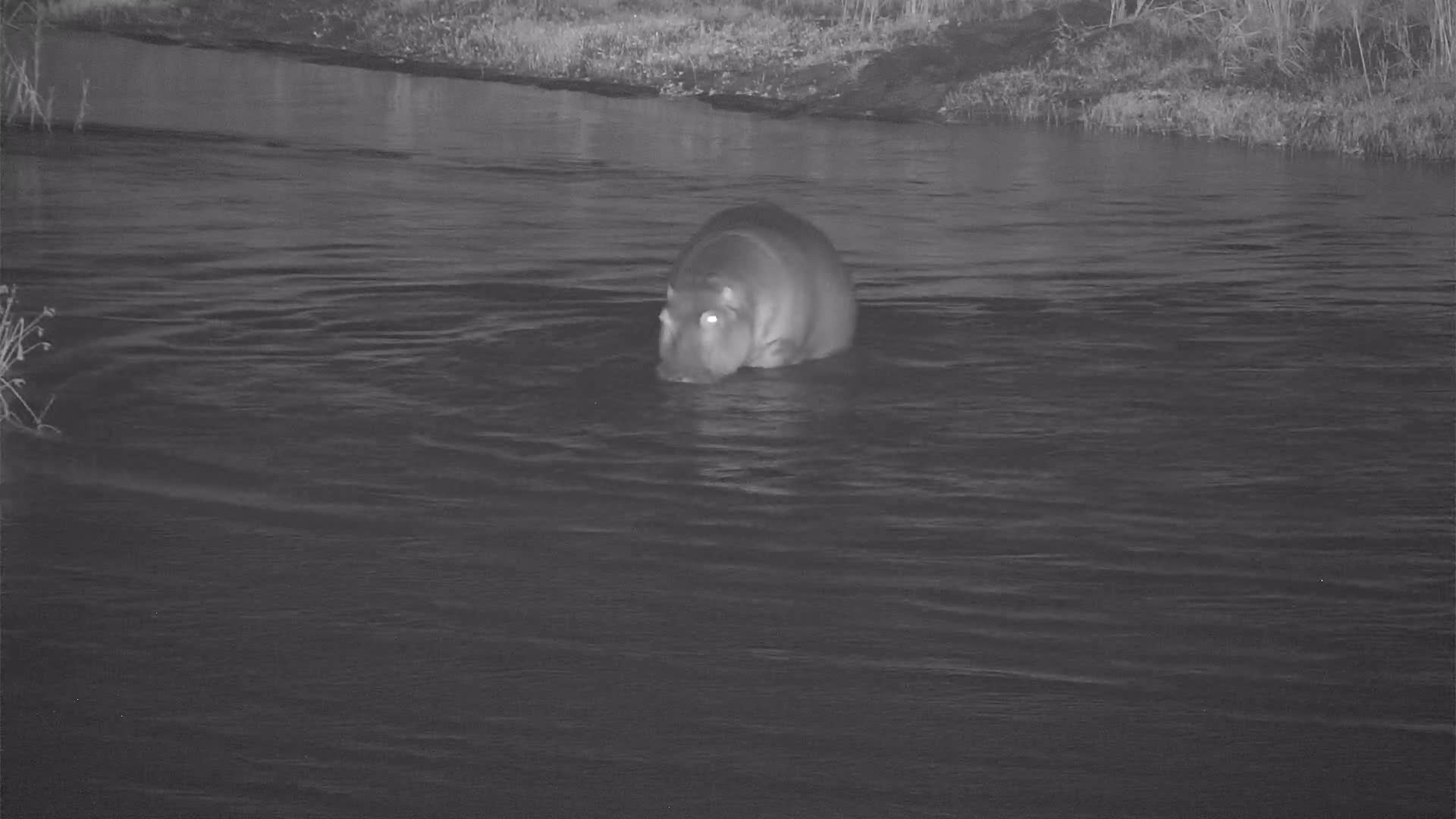 VIDEO:  Hippo crossing the river