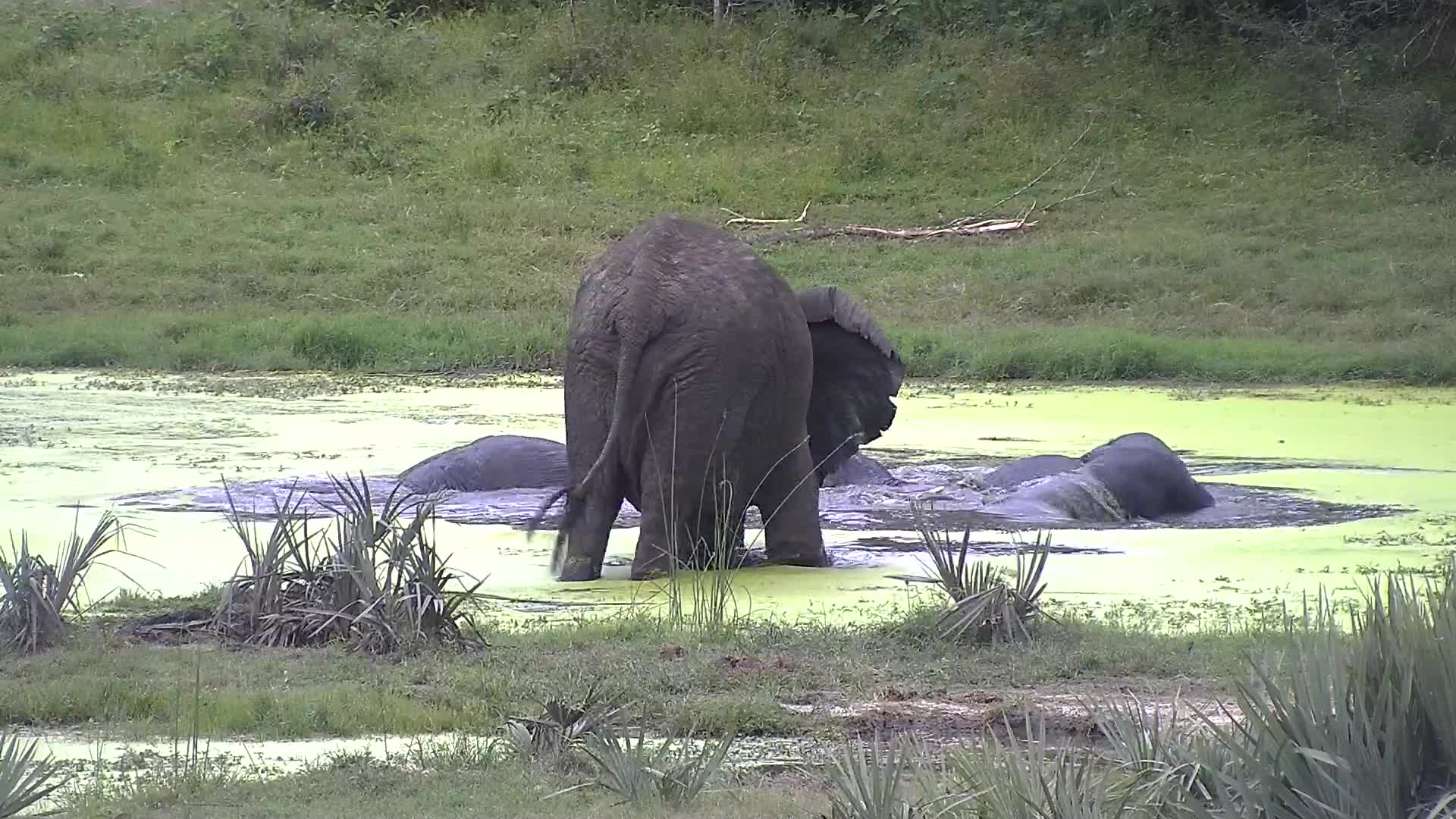 VIDEO: Elephants together playing.