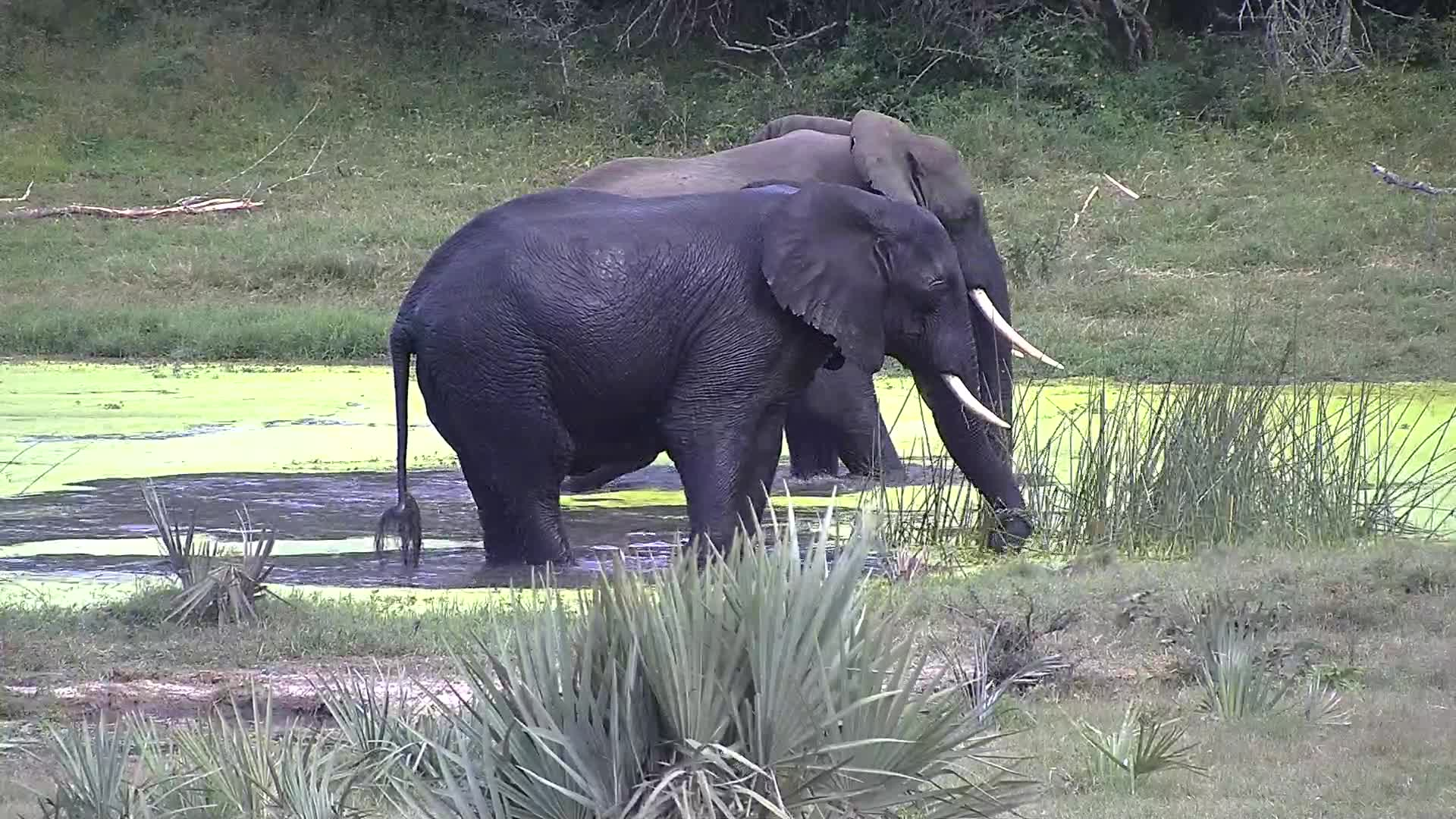 VIDEO: Elephants having fun in the water.
