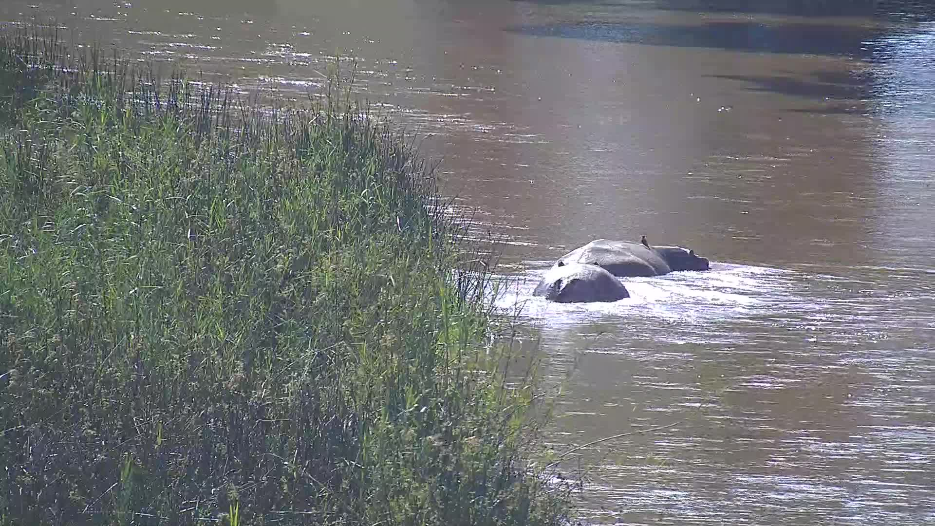 VIDEO: Hippos in river with calf.