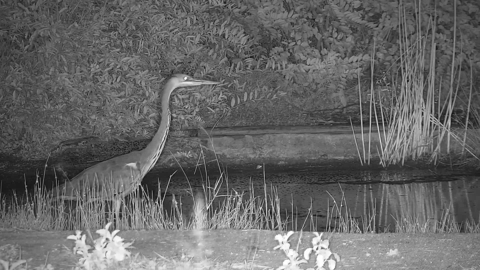 VIDEO:   Grey Heron stalking