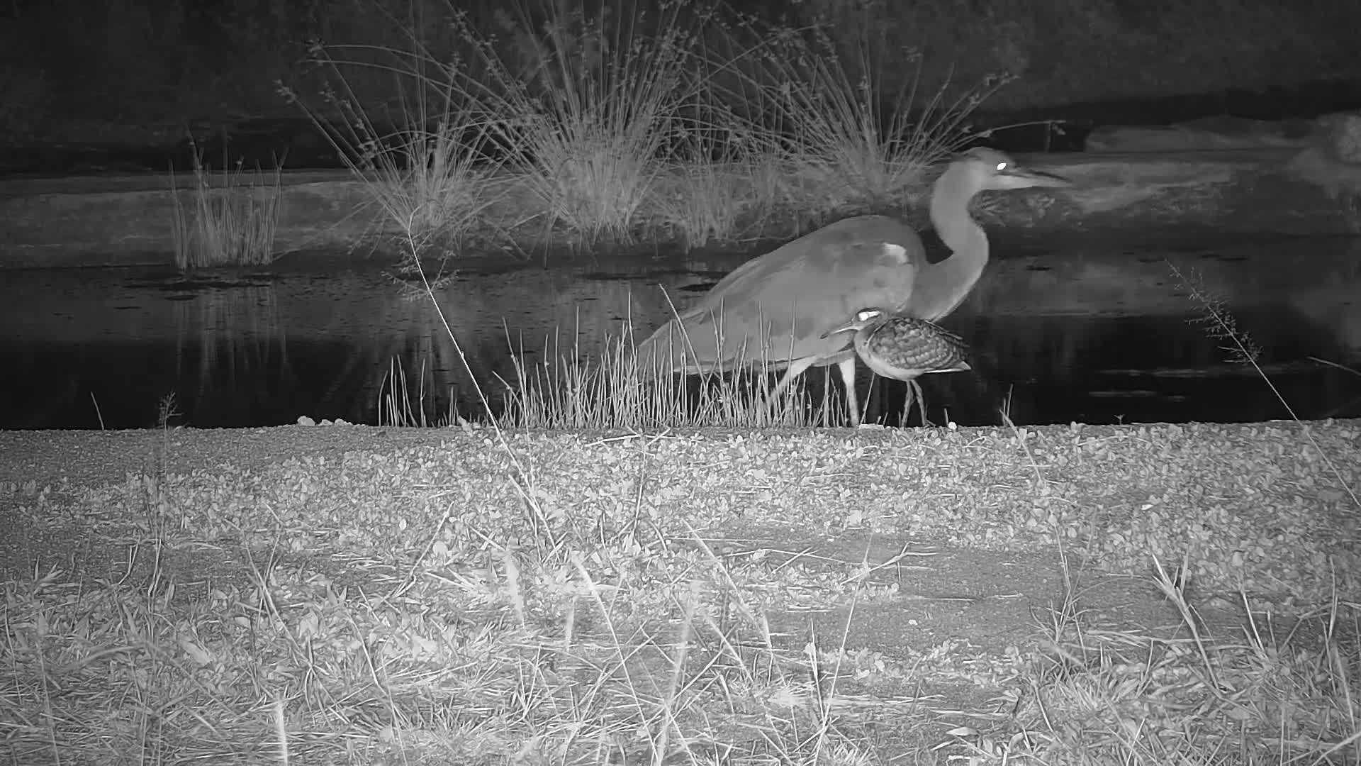 VIDEO:  Grey Heron stalking while a Greater Painted Snipe displays its wings