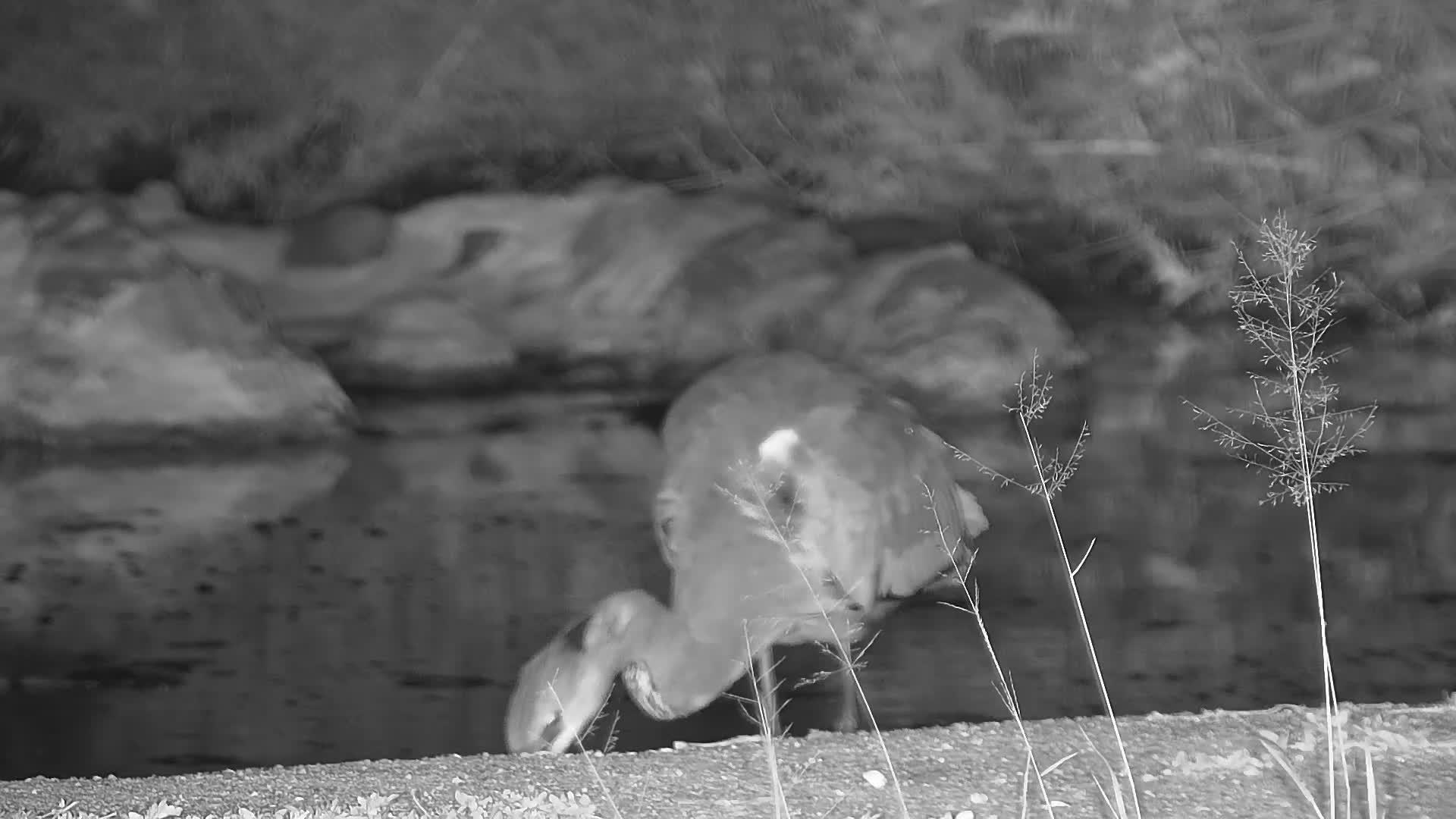VIDEO:  Grey Heron's dinner (frog)