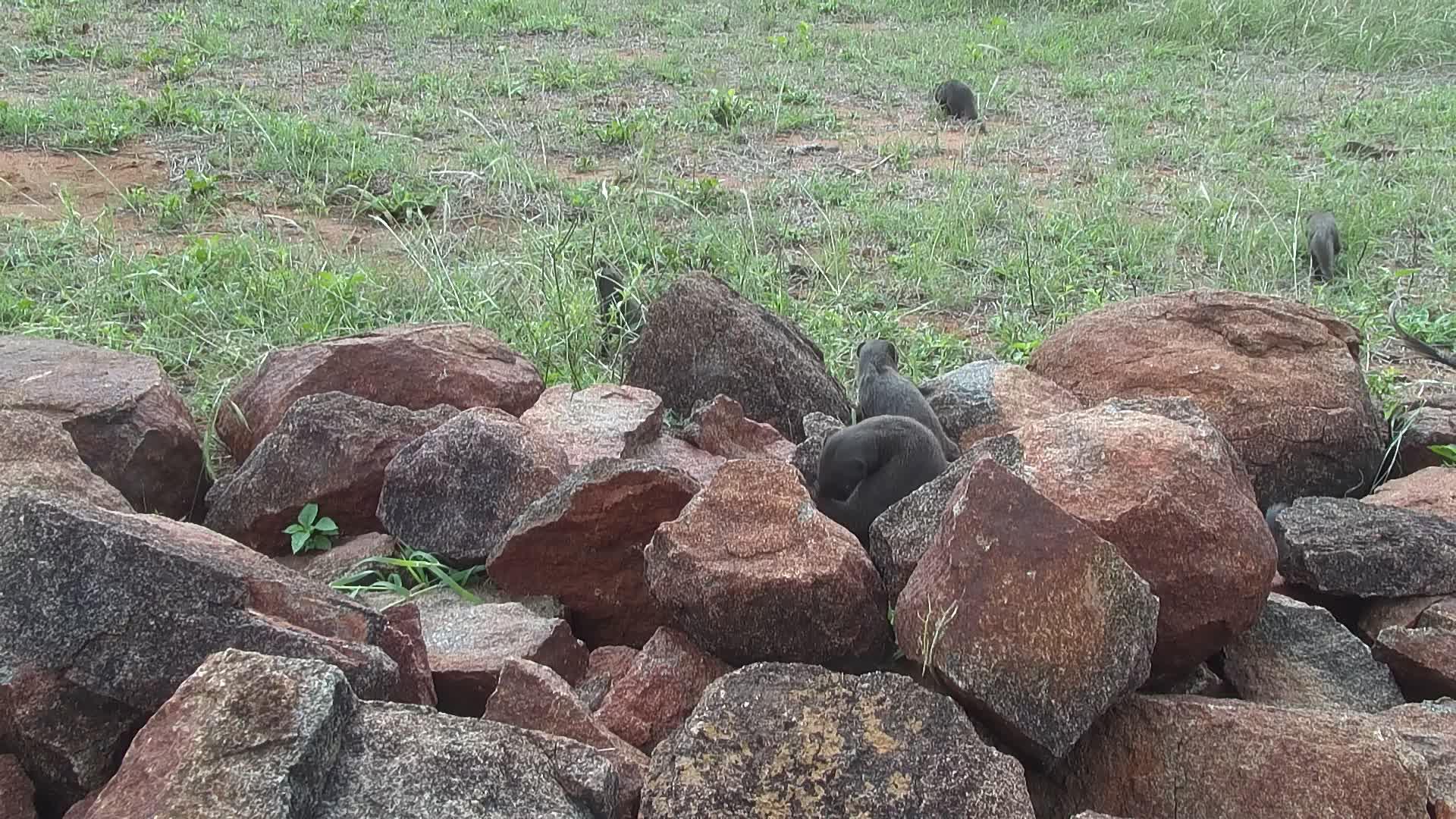 VIDEO: Dwarf Mongooses