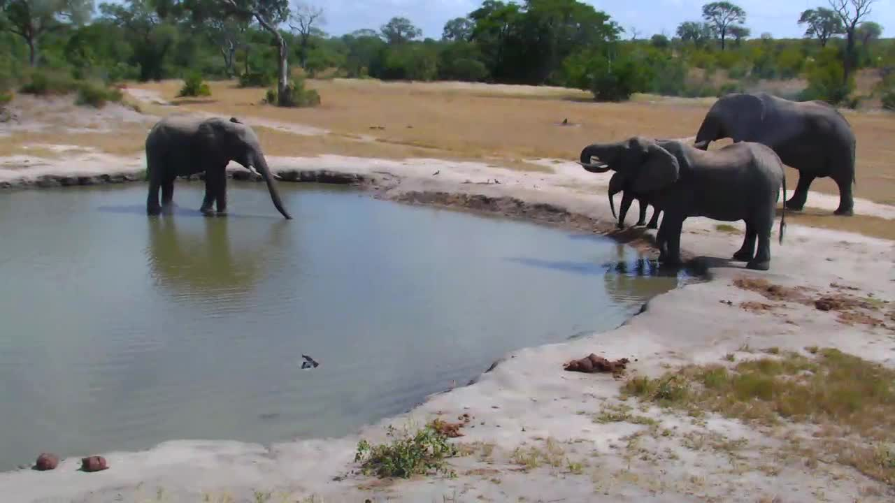 VIDEO: Small Elephant breeding herd pays a visit to the waterhole