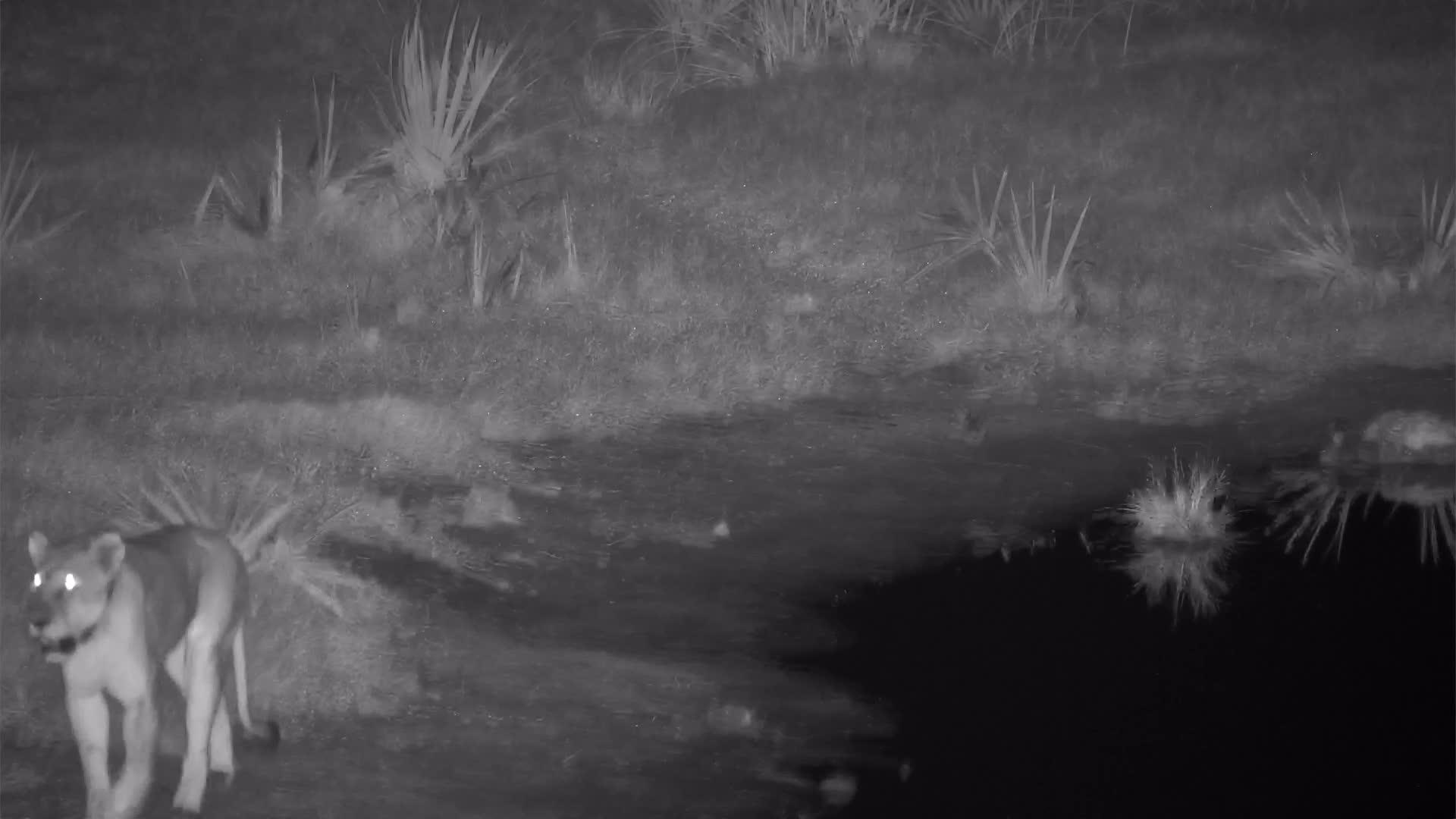 VIDEO: Lioness walking past the waterhole