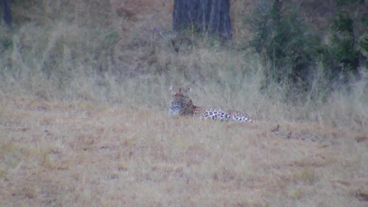 VIDEO: Leopard relaxing in the field PT 3