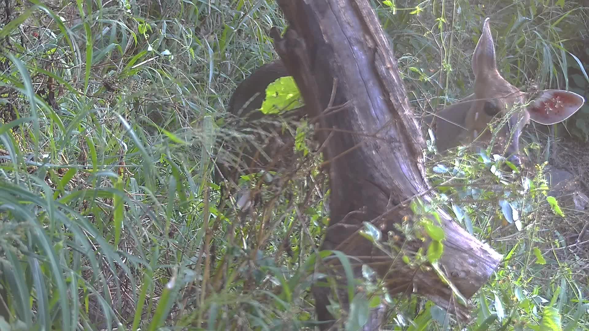 VIDEO: Bushbuck ewe browsing.