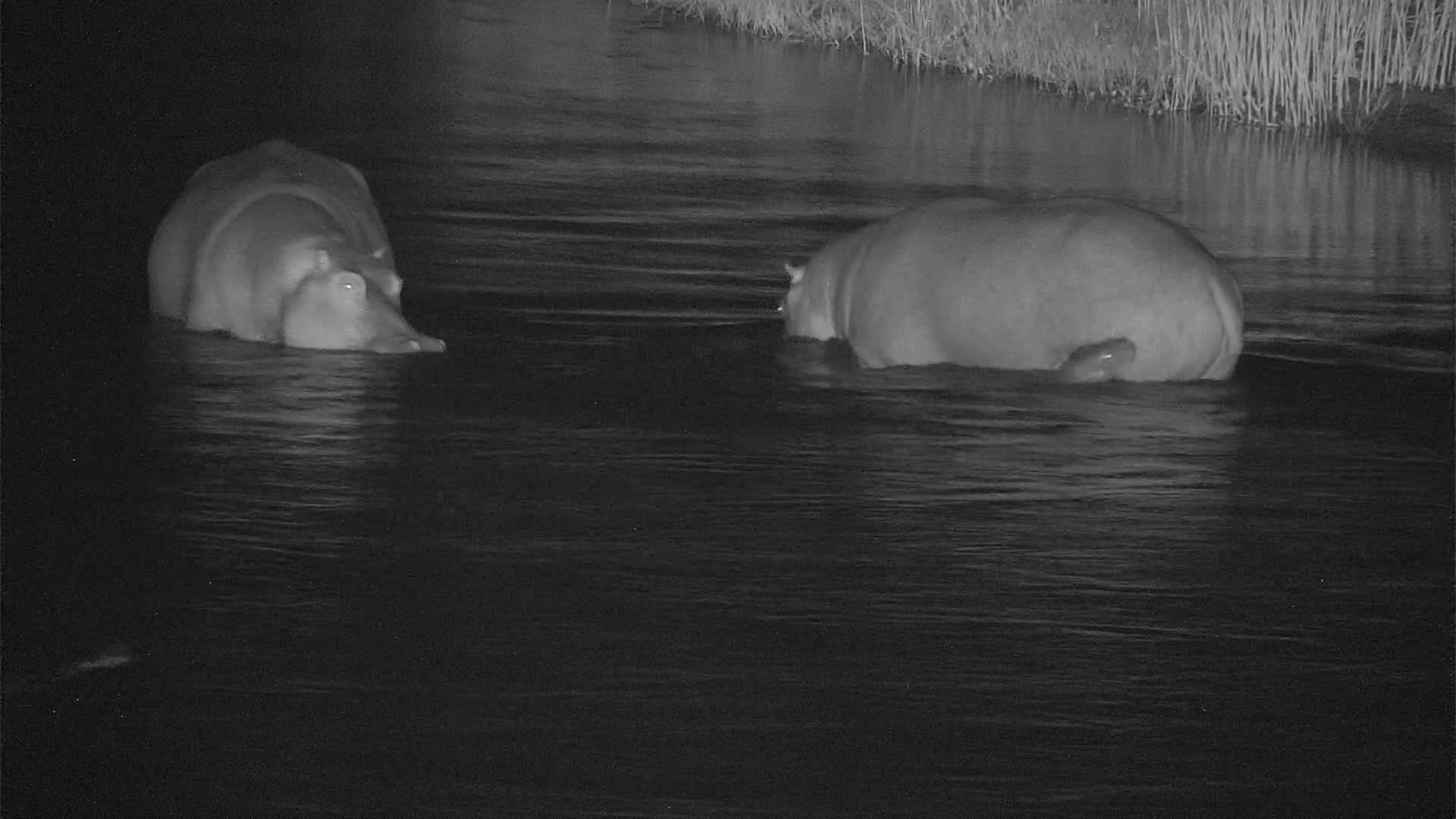 VIDEO:  Baby Hippo following Mom and Sis across the river