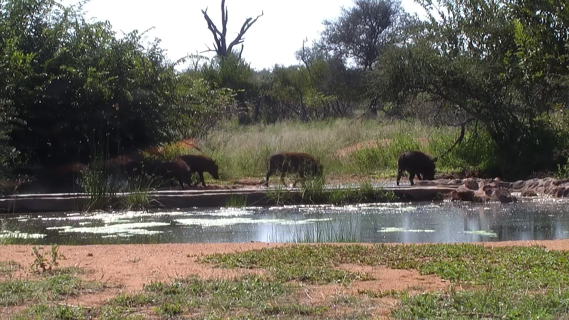 VIDEO: Warthogs at the water.