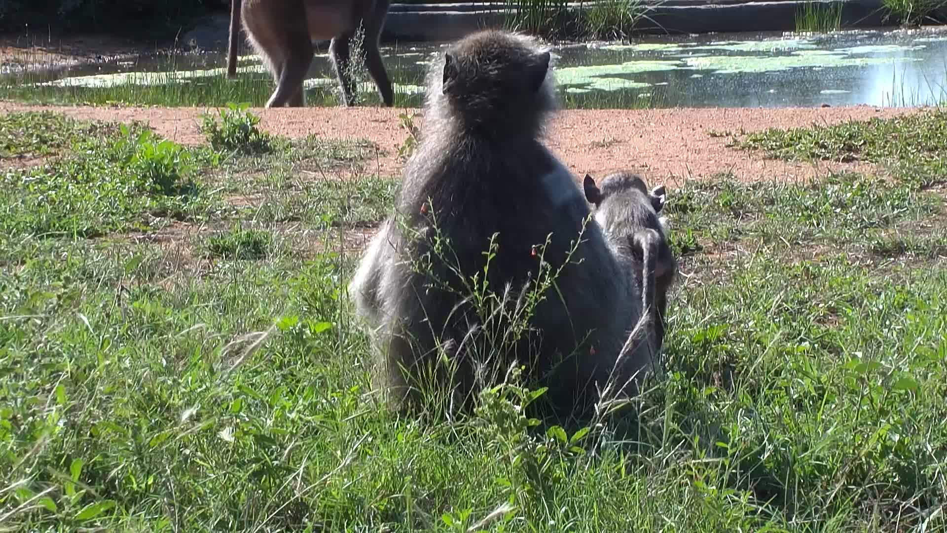 VIDEO: Baboons and Warthogs meet at the water.