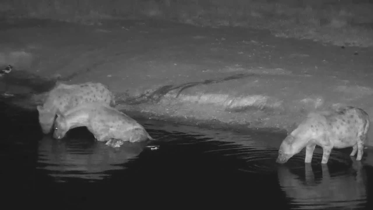 VIDEO:  Hyaenas- One bringing a part of a kill in the water