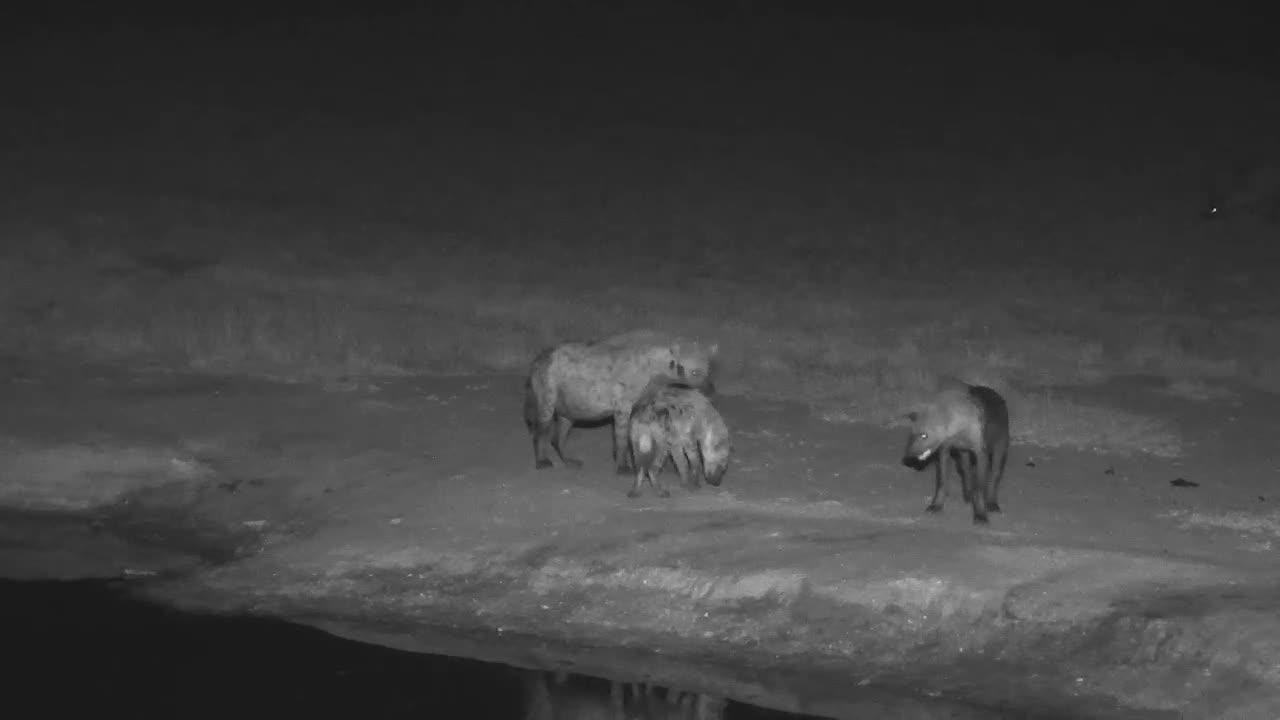 VIDEO: Hyaenas having fun at the waterhole