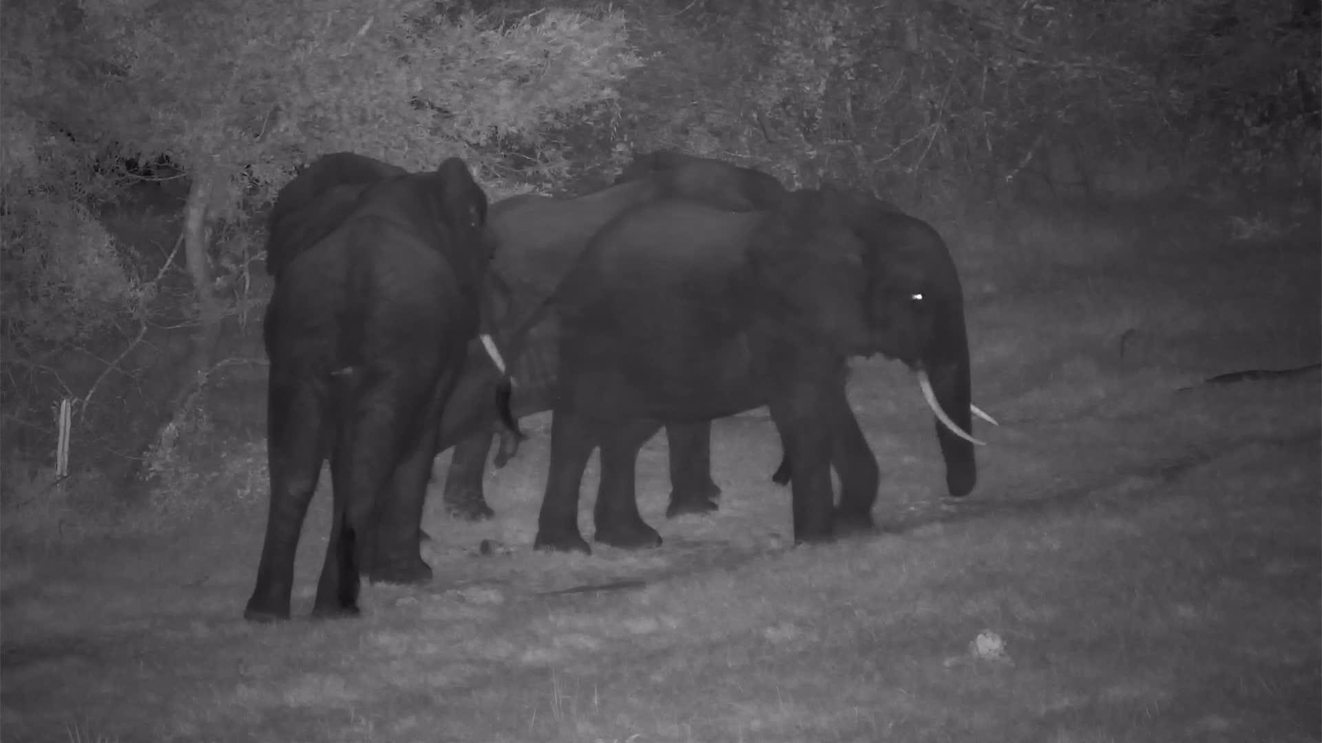 VIDEO:  Elephants: Three Amigos