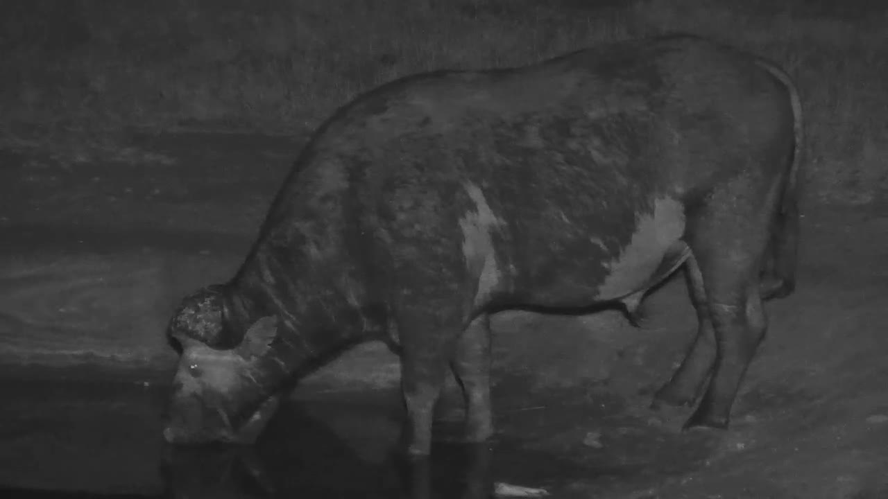 VIDEO: Lone Cape Buffalo - very alert - came for a drink to the waterhole