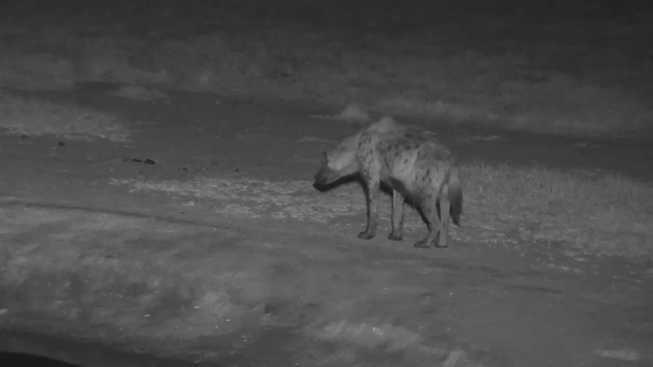 VIDEO: Hyaena vocalizing