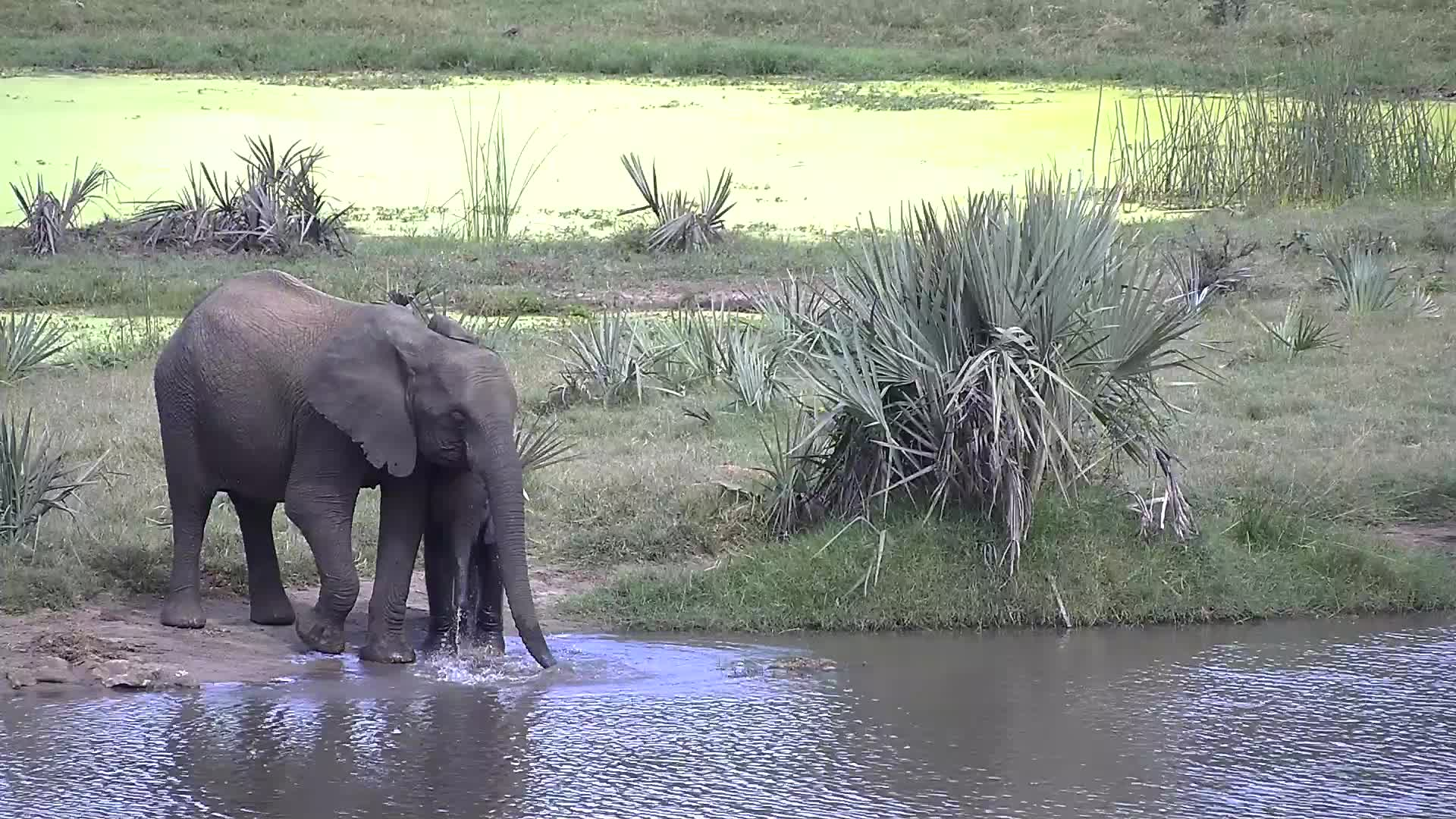 VIDEO: Elephants - some with only one tusk - came for a drink to the waterhole
