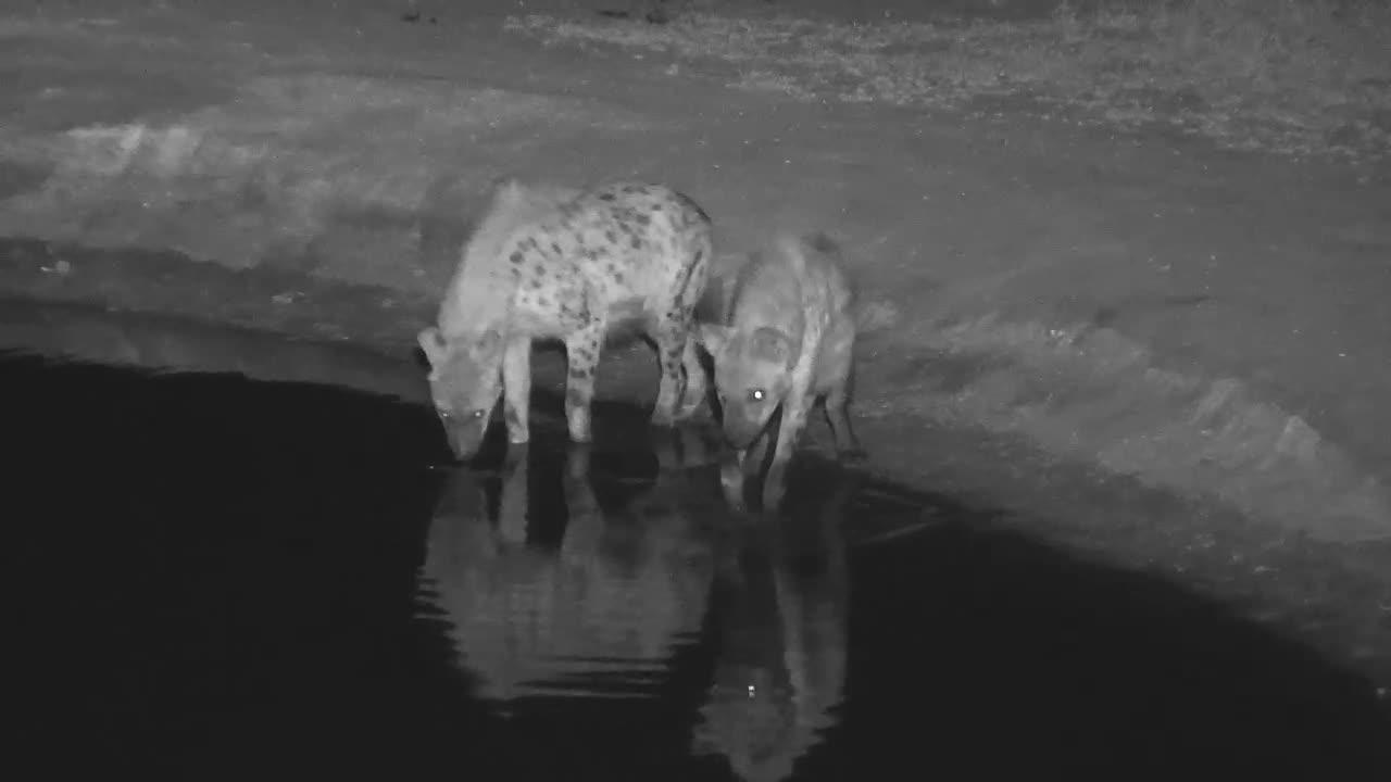 VIDEO:  2 Hyaenas scouting around the water