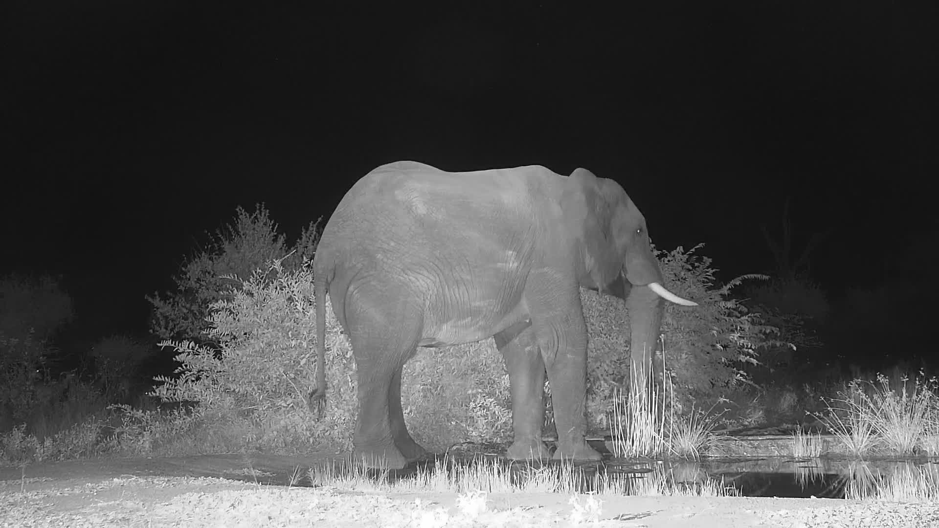 VIDEO: Elephant came quietly for a long drink to the waterhole