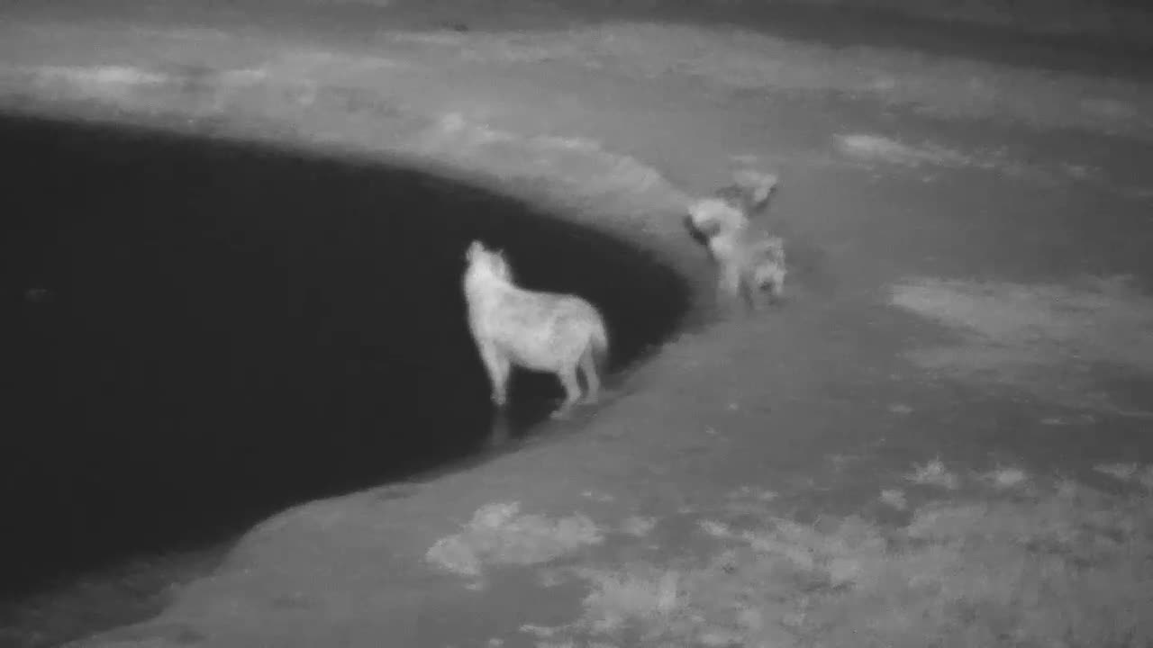 VIDEO: Hyaenas - very alert - came for a short drink to the waterhole