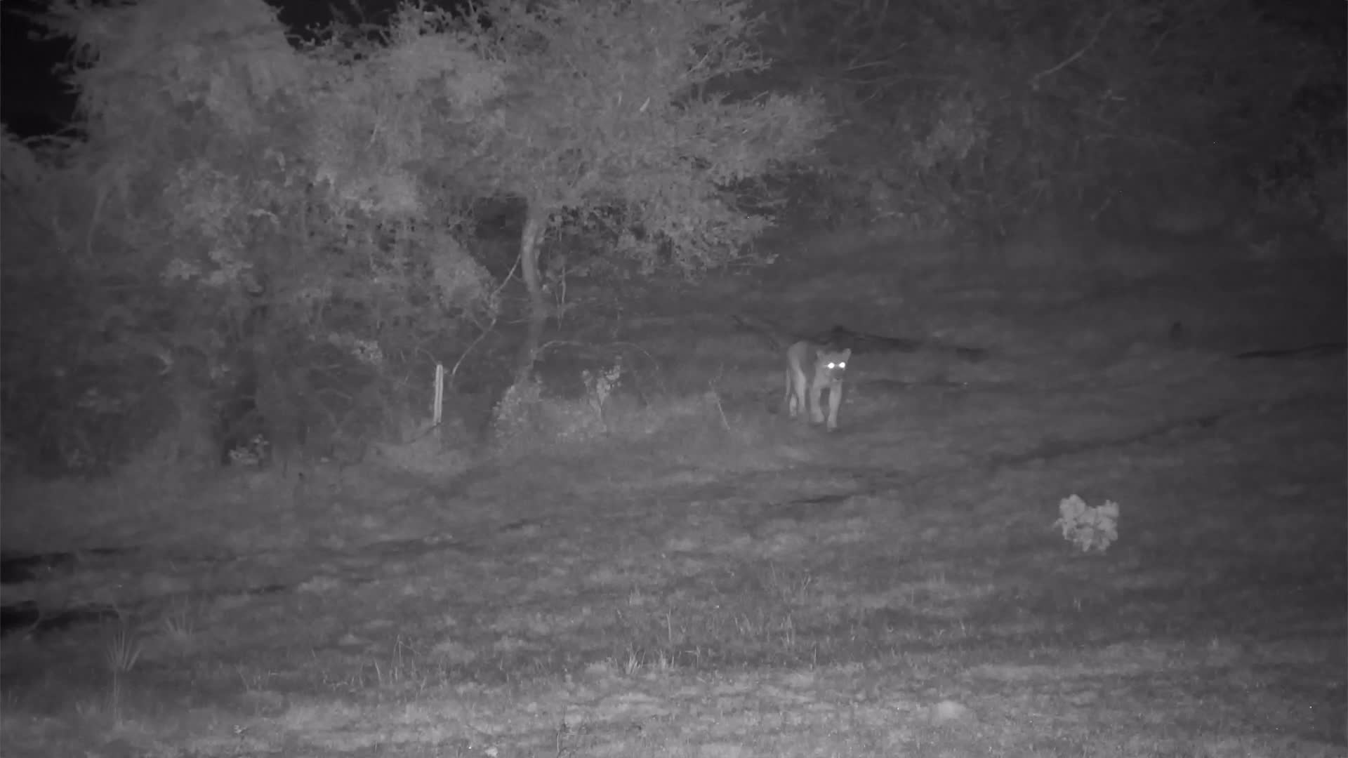 VIDEO: Lions watching something at the other side of the waterhole and stalking