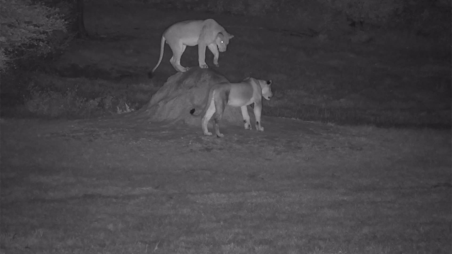 VIDEO: Lions - the young ones are very playful
