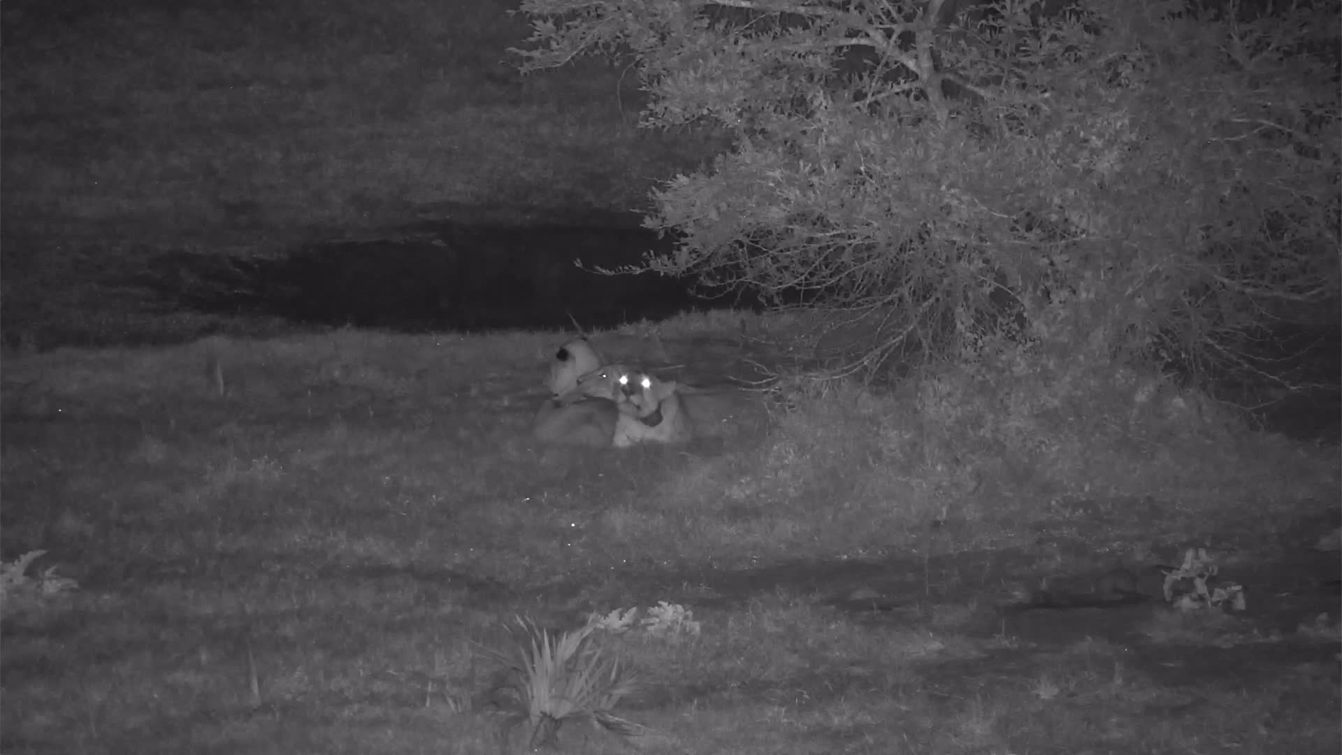 VIDEO: Lions wake up, roar and go back to sleep