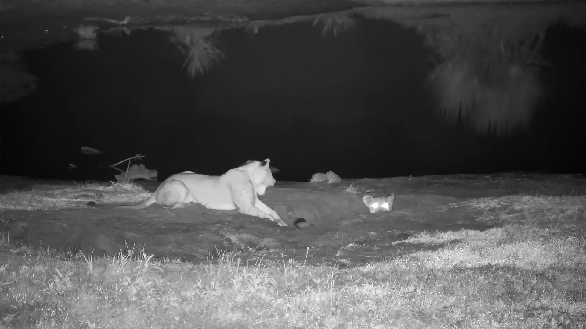 VIDEO: Young Lions playing