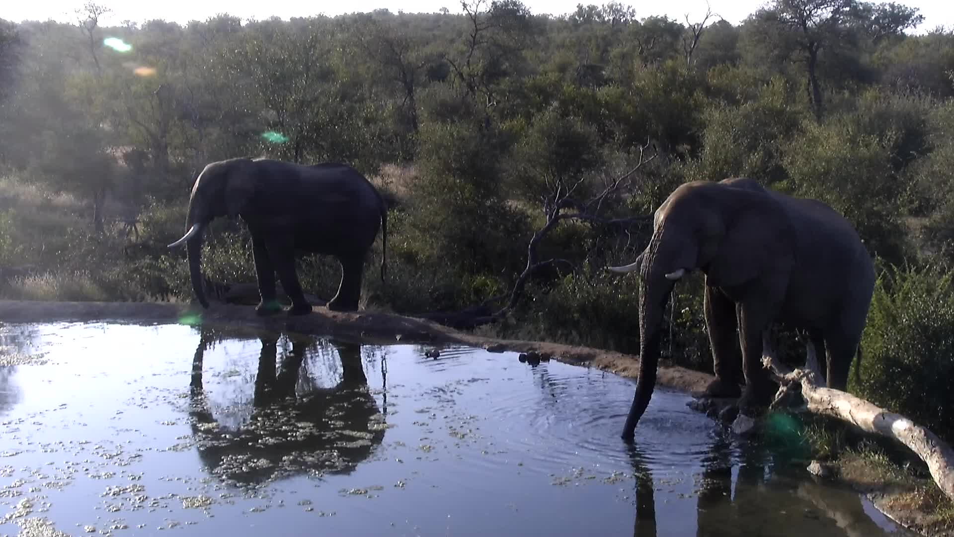 VIDEO:  Elephants having a quick drink before walking off