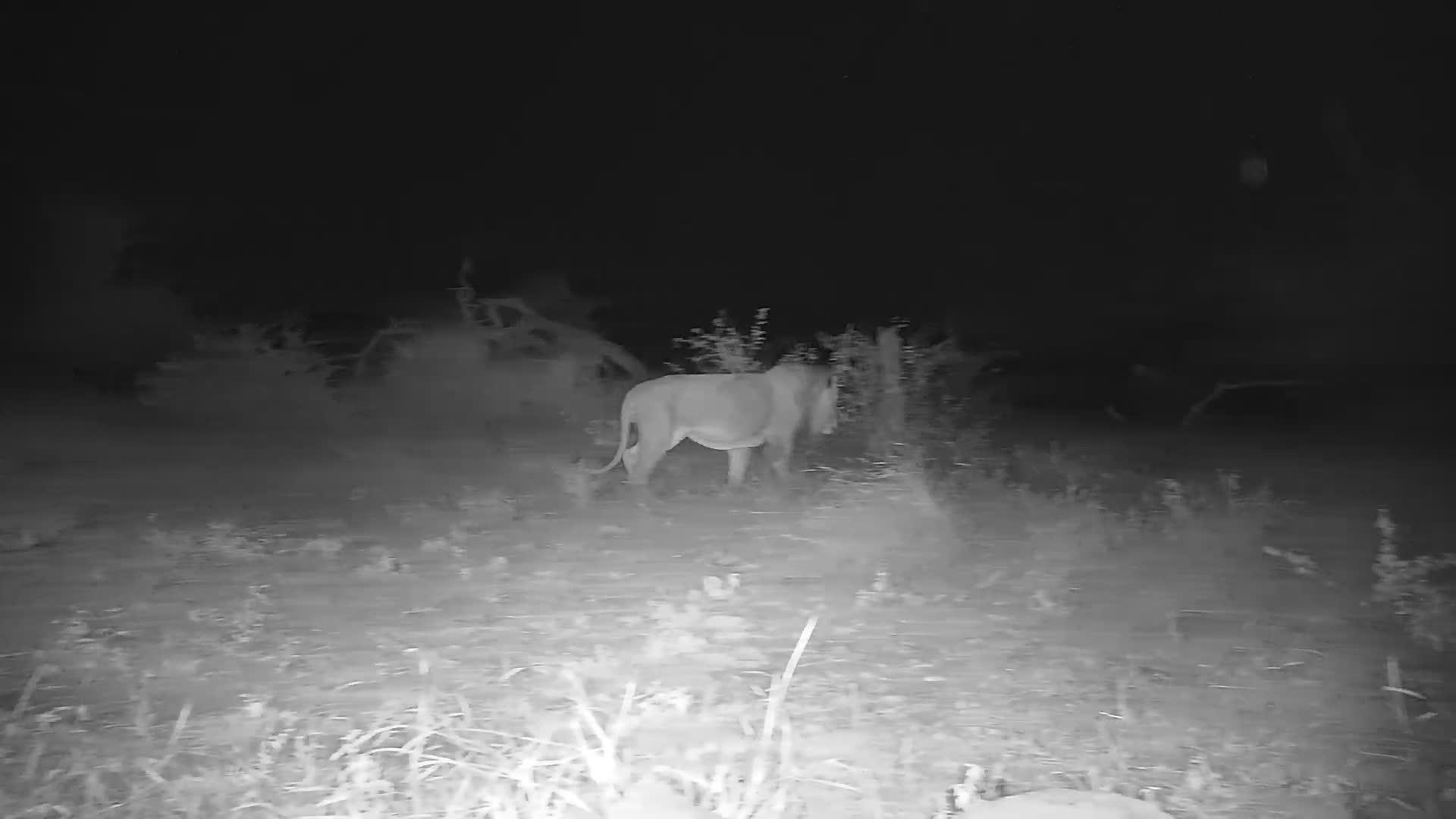 VIDEO: Lion passing through