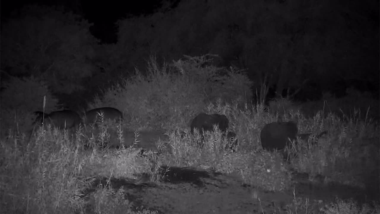 VIDEO:  Elephants and Hippo's grazing