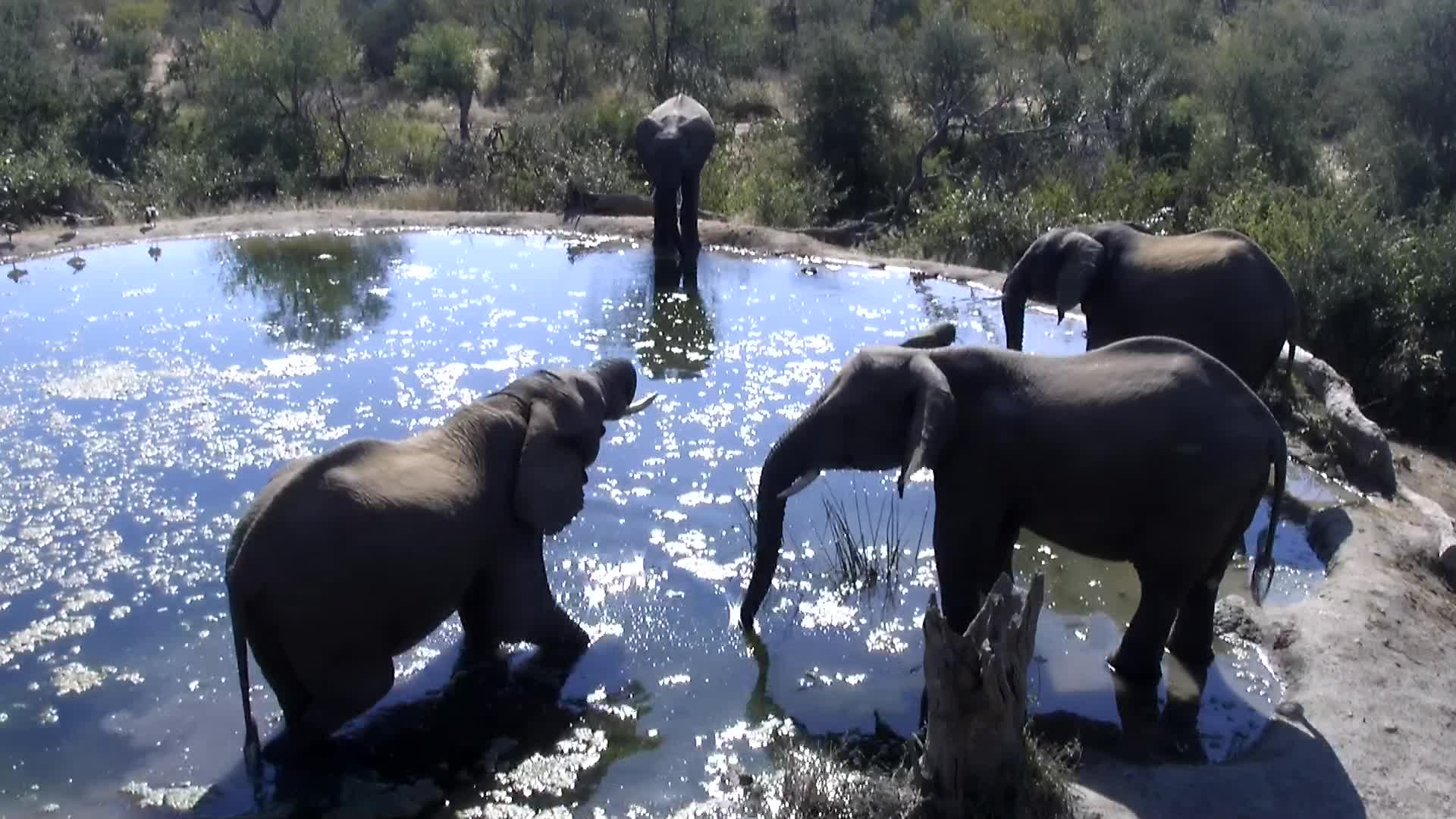 VIDEO: A small herd of Elephants having a drink.