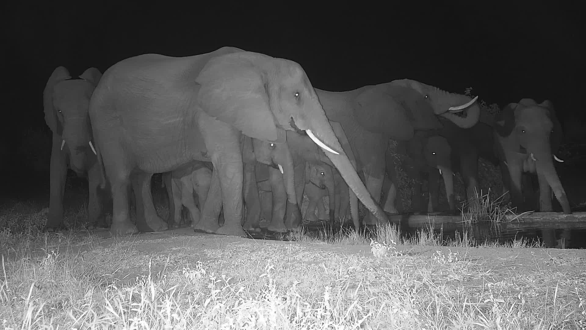 VIDEO: Elephant breeding herd at the waterhole