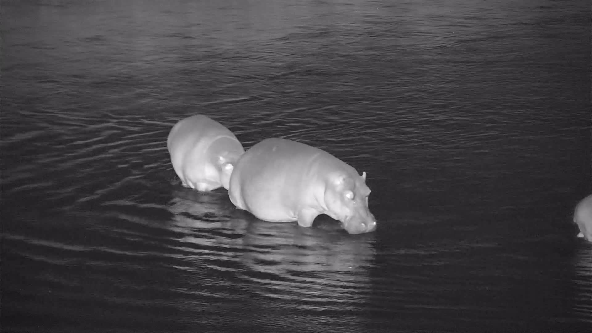 VIDEO: Hippos with the Baby crossing the river