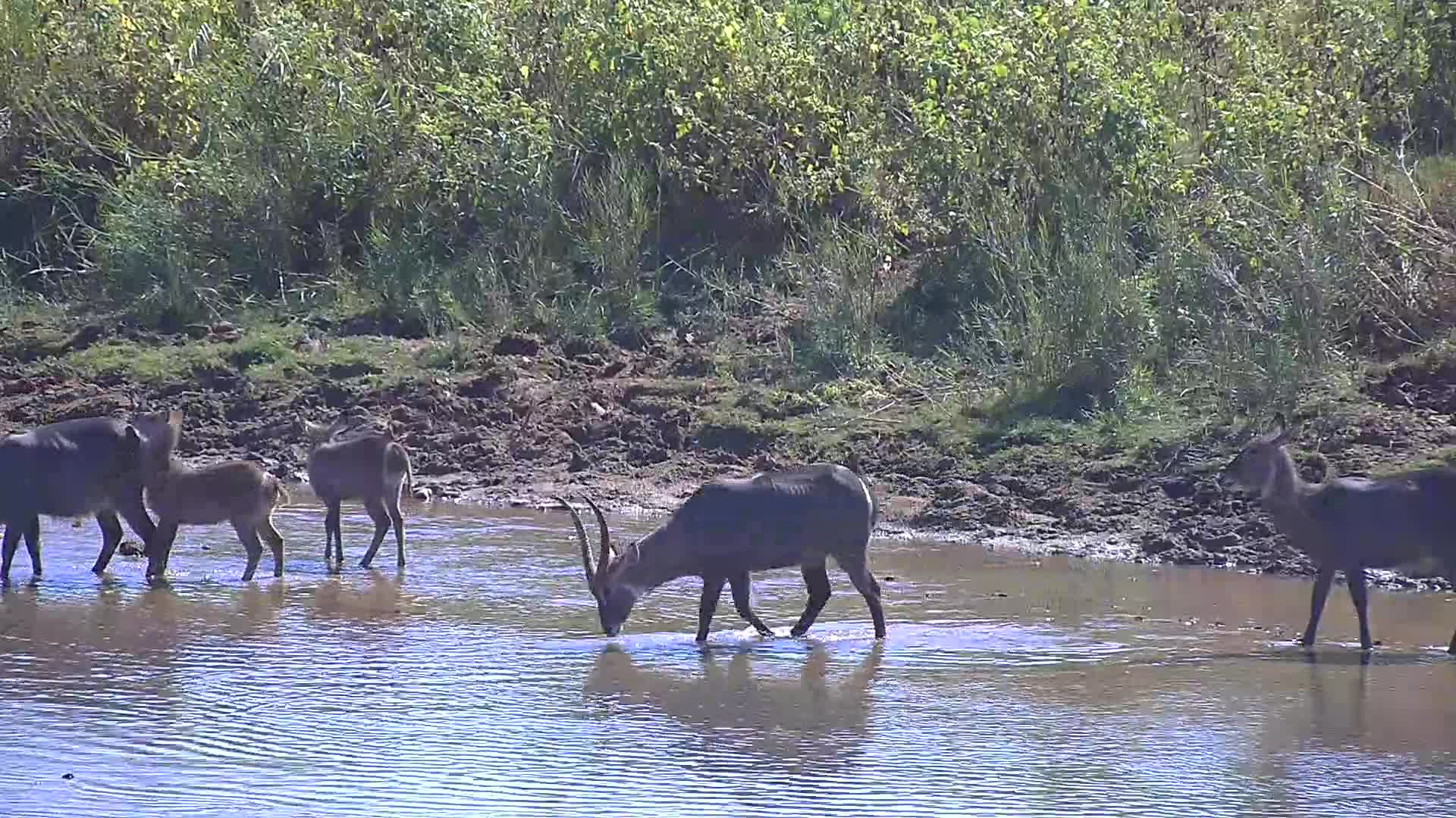 VIDEO: Waterbucks came to drink and crossed the river to rest on an island
