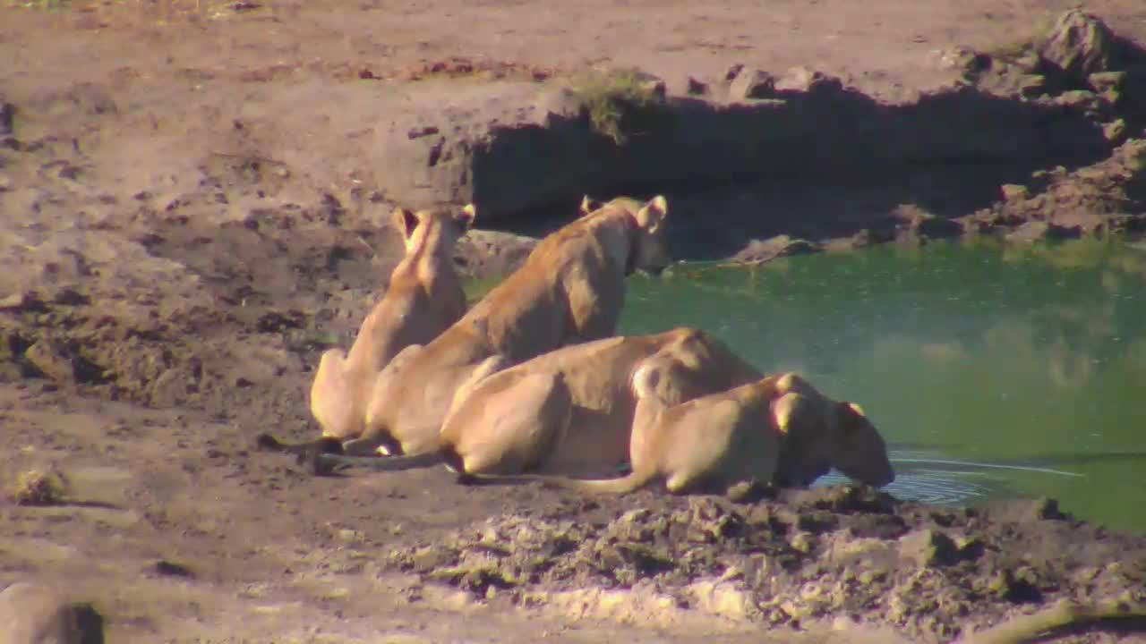 VIDEO: Lions having a drink this morning