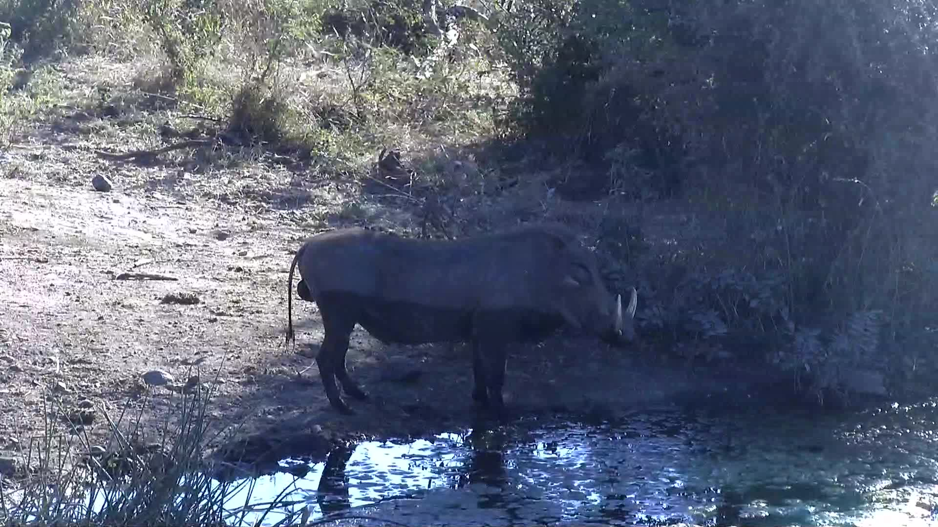 VIDEO:  Male Warthog having a drink and walking past the waterhole
