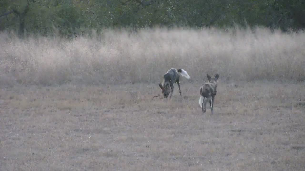 VIDEO:  Wild Dogs with a Scrub Hare kill