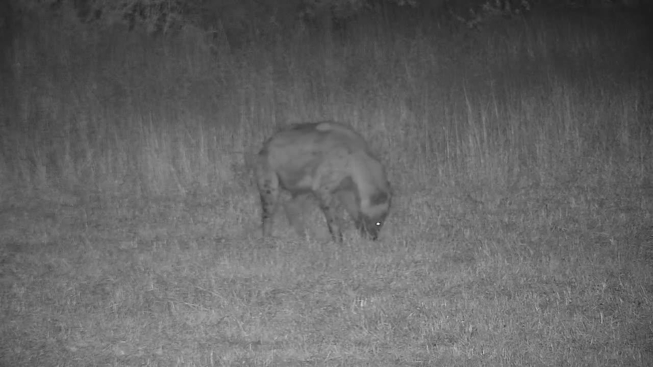 VIDEO:  Hyaena eating a Scrub Hare